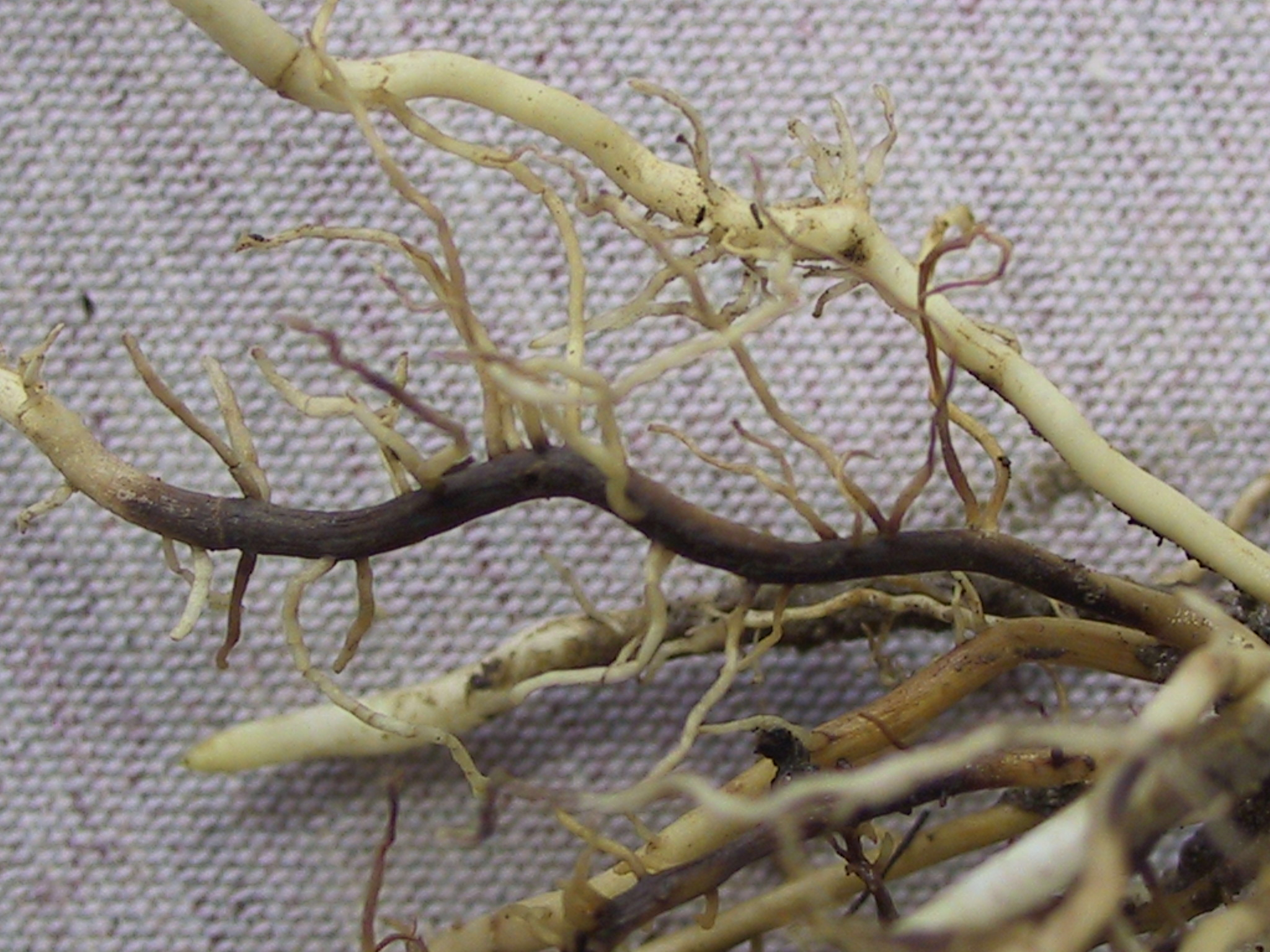 Symptoms of Fusarium root rot.