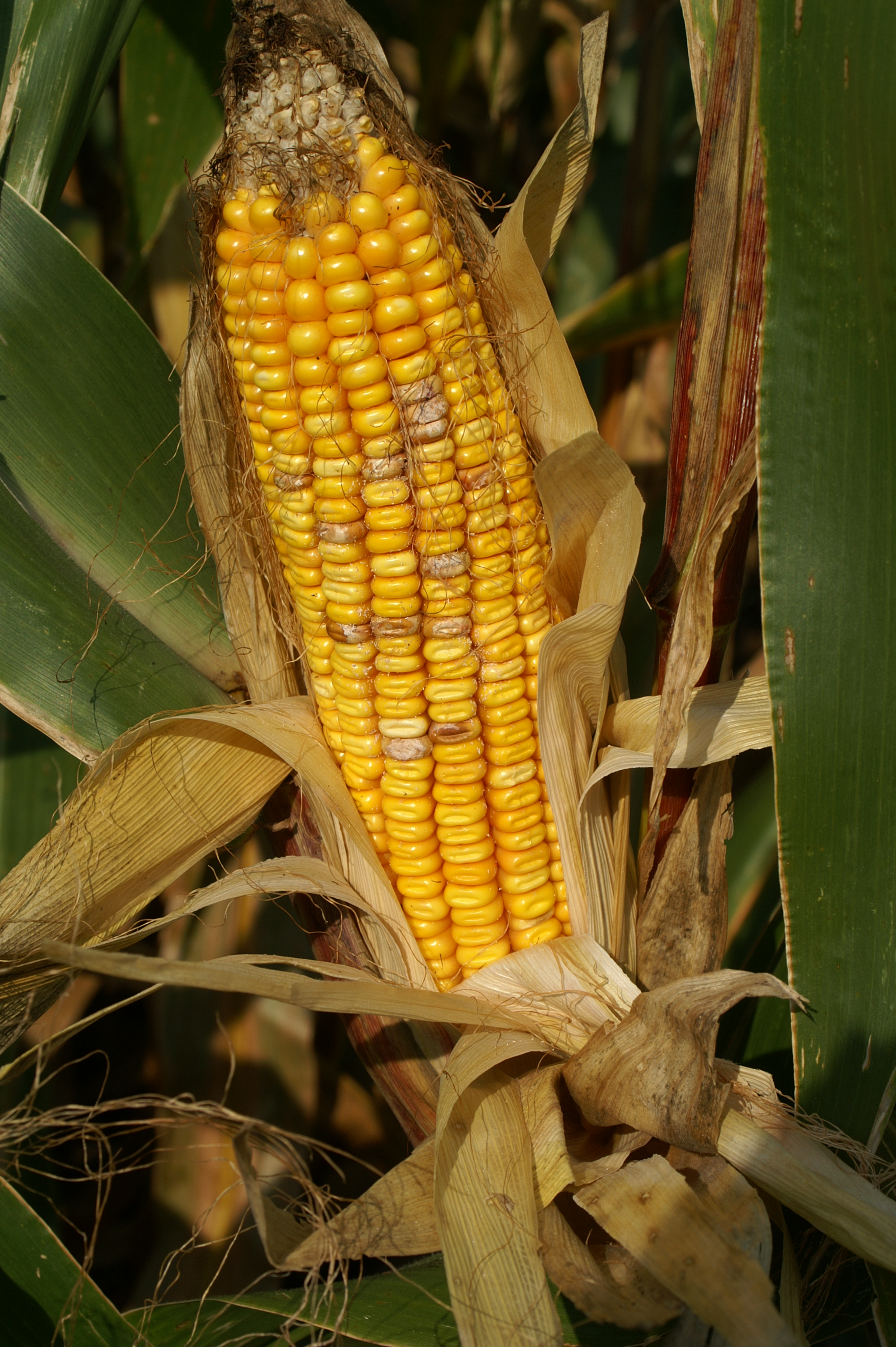 Scattered kernels with symptoms and signs of Fusarium ear rot.