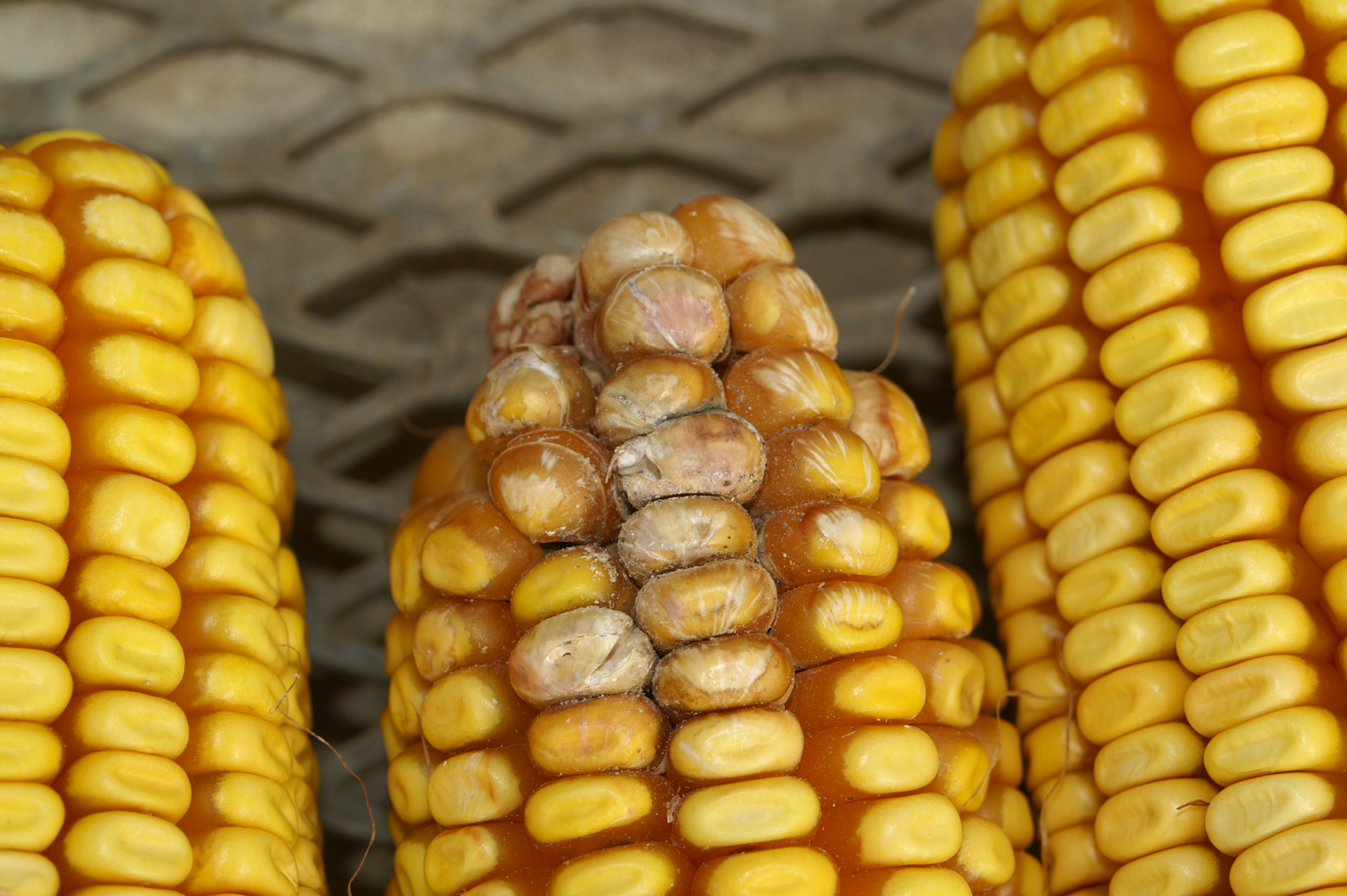 Starburst pattern on kernels indicative of Fusarium ear rot.
