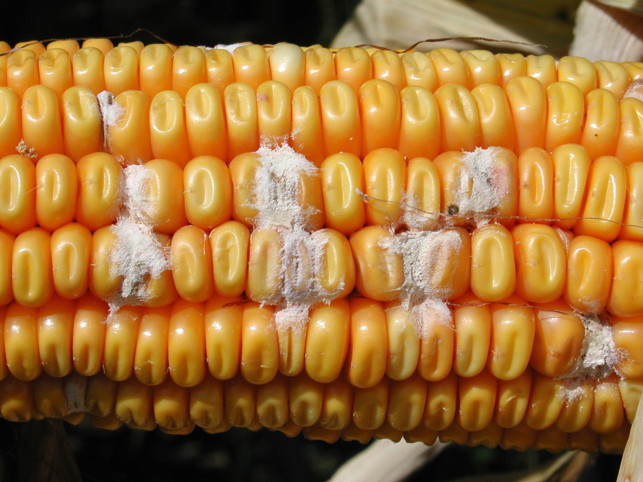 Scattered signs of Fusarium ear rot on kernels.