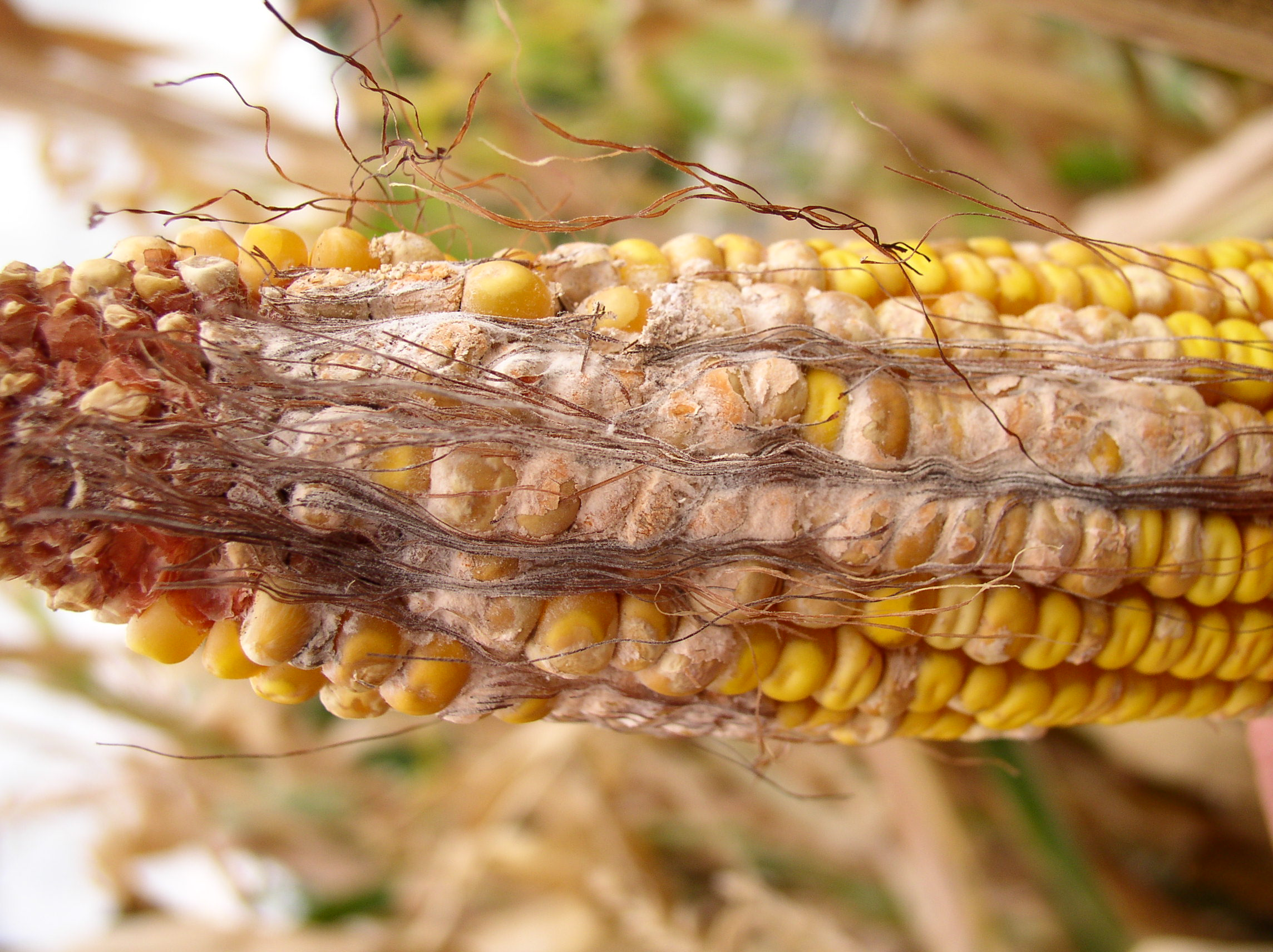 White to pink or salmon-colored, cottony mold indicative of Fusarium ear rot.