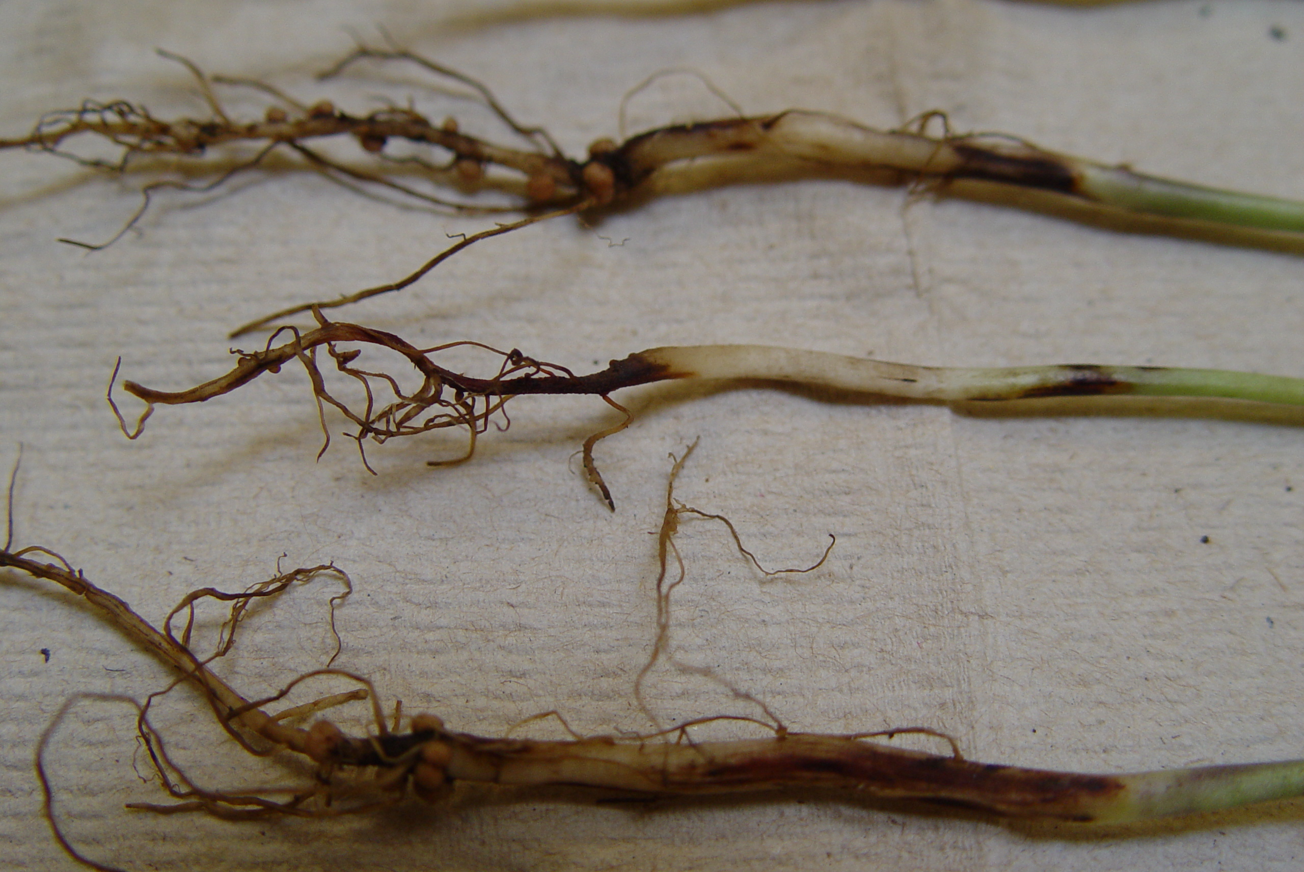 Fusarium-infected soybean seedlings.