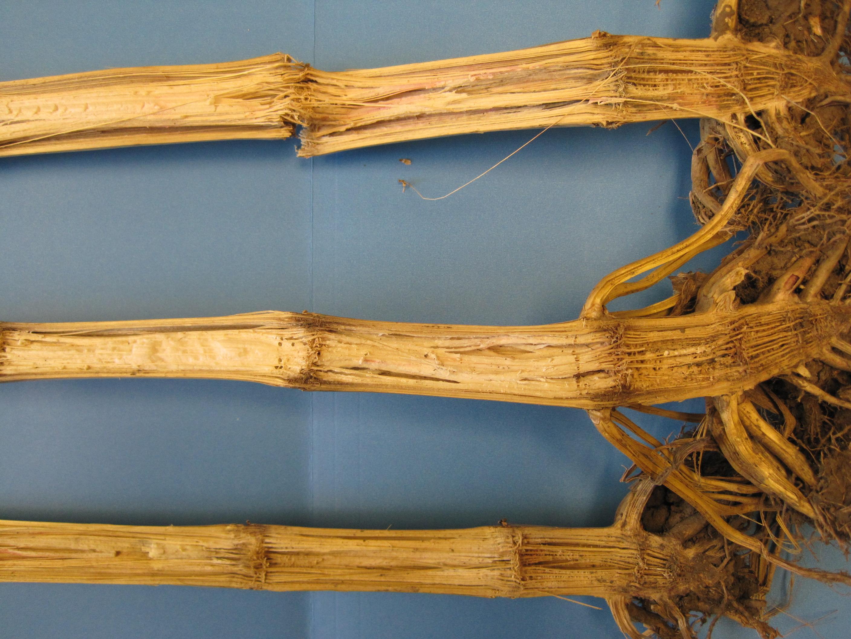 Fusarium stalk rot symptoms.