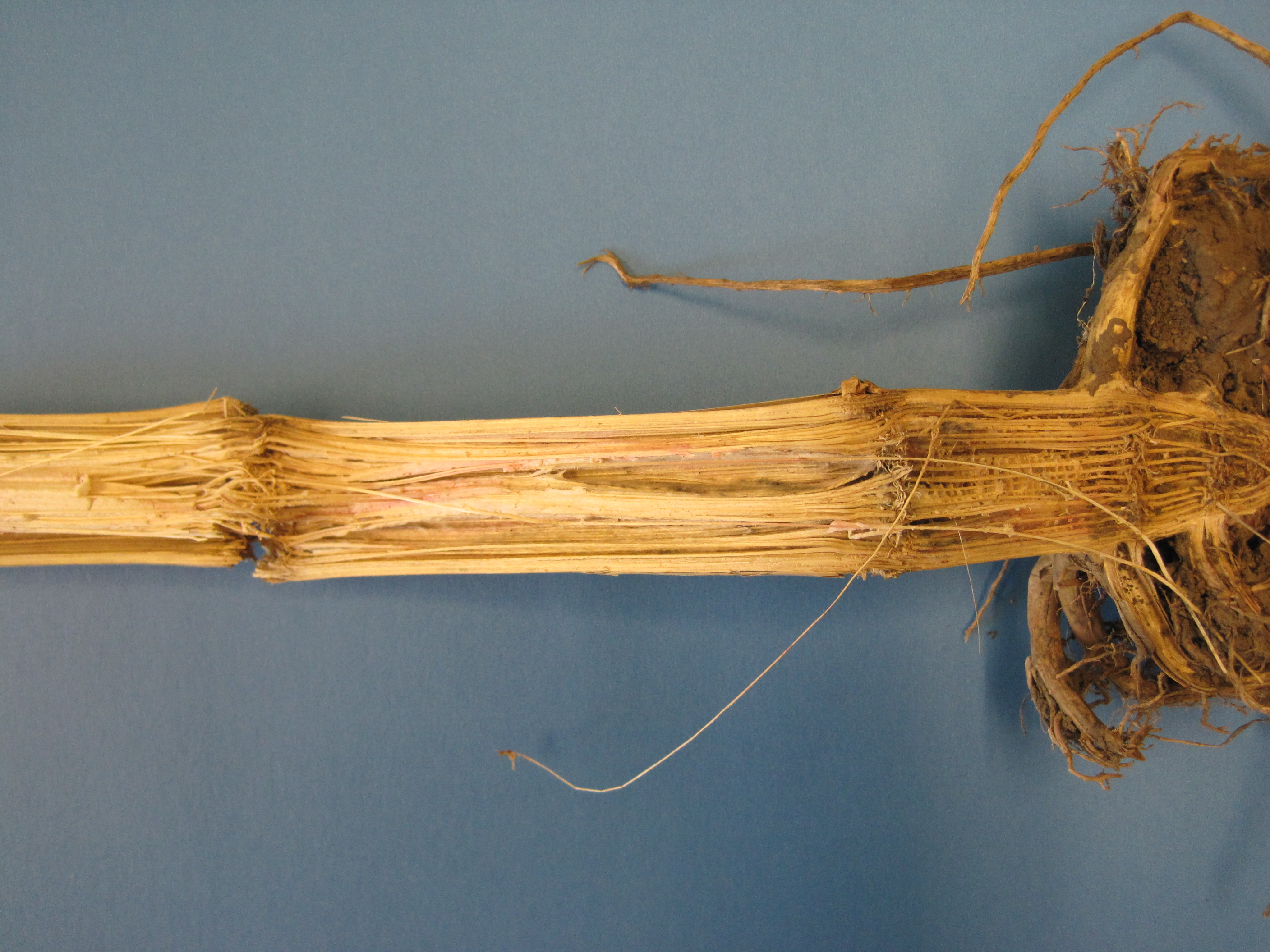 Fusarium stalk rot is among the most common stalk rots in the Midwest.