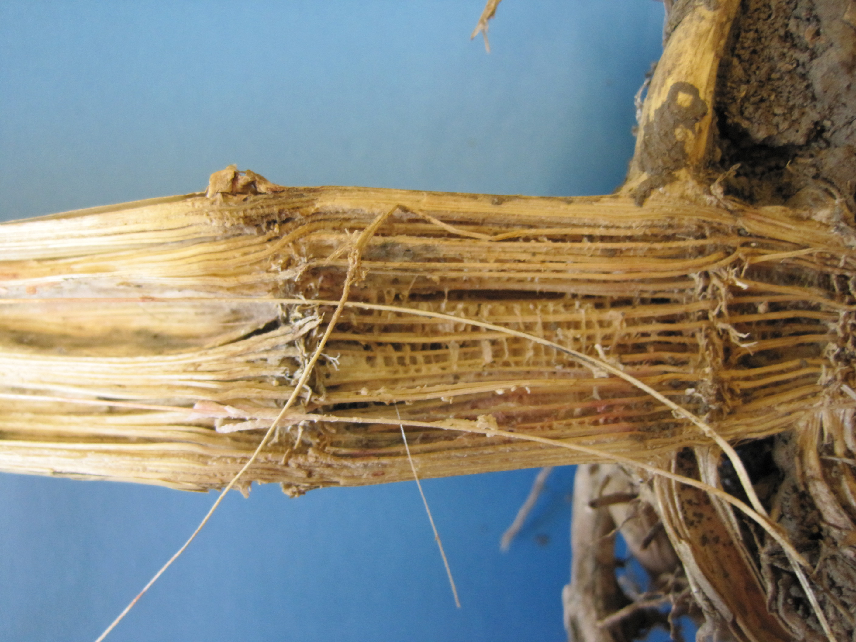 Fusarium stalk rot can cause shredded pith that may be a whitish-pink to salmon color.