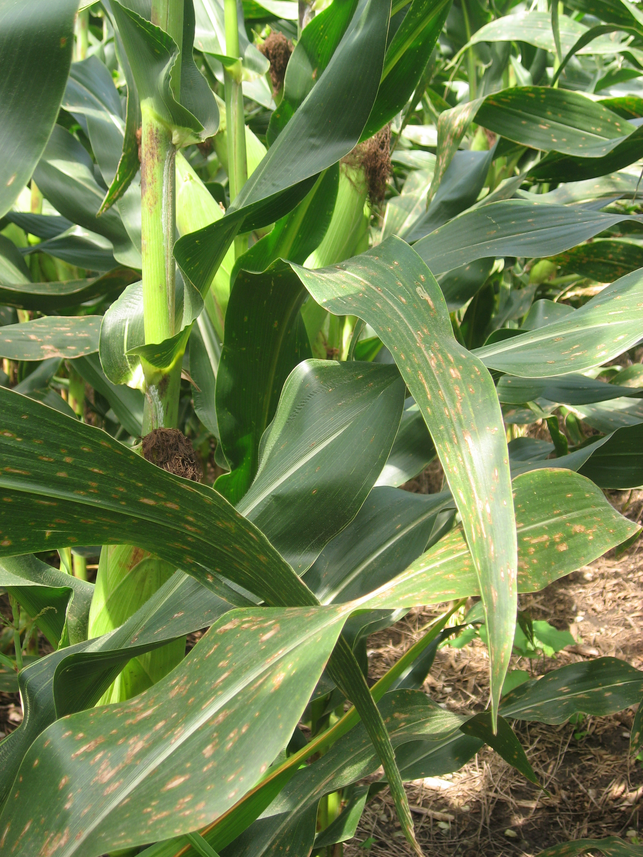 Gray leaf spot symptoms on lower canopy corn leaves.