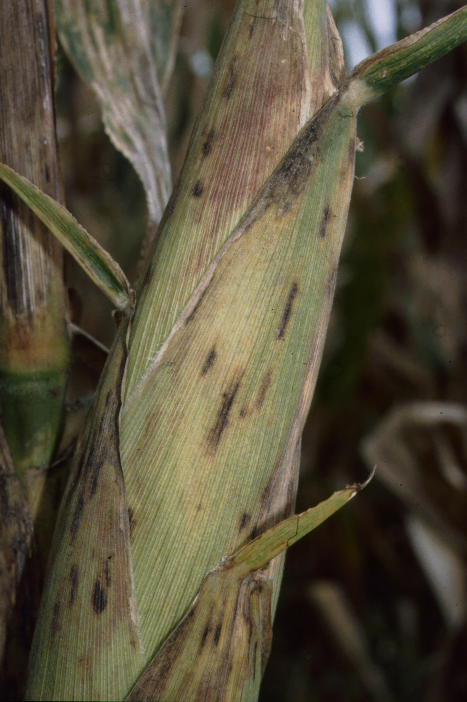 Gray leaf spot lesions on corn husk.