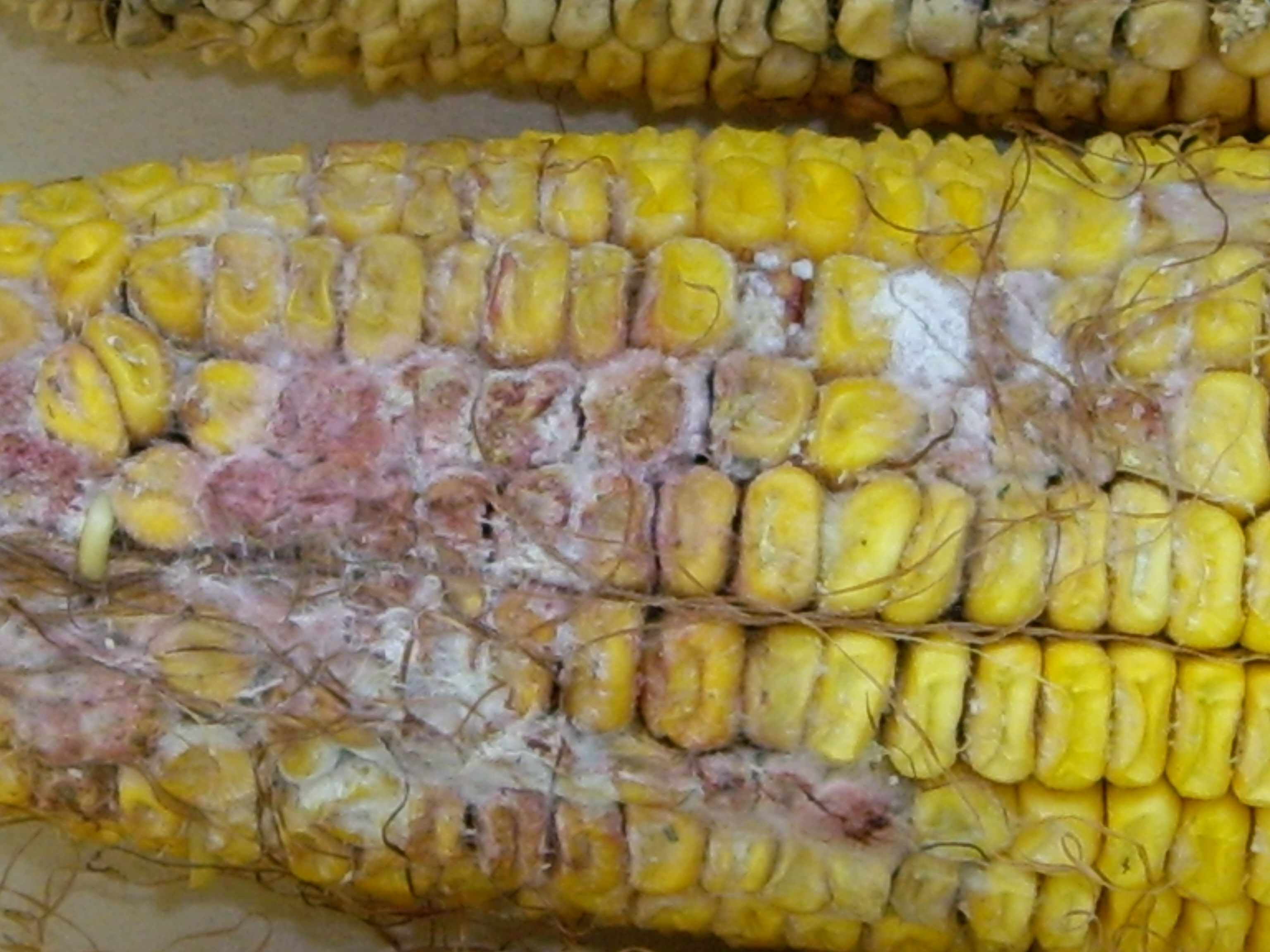 Gibberella ear rot on hail damaged ear.