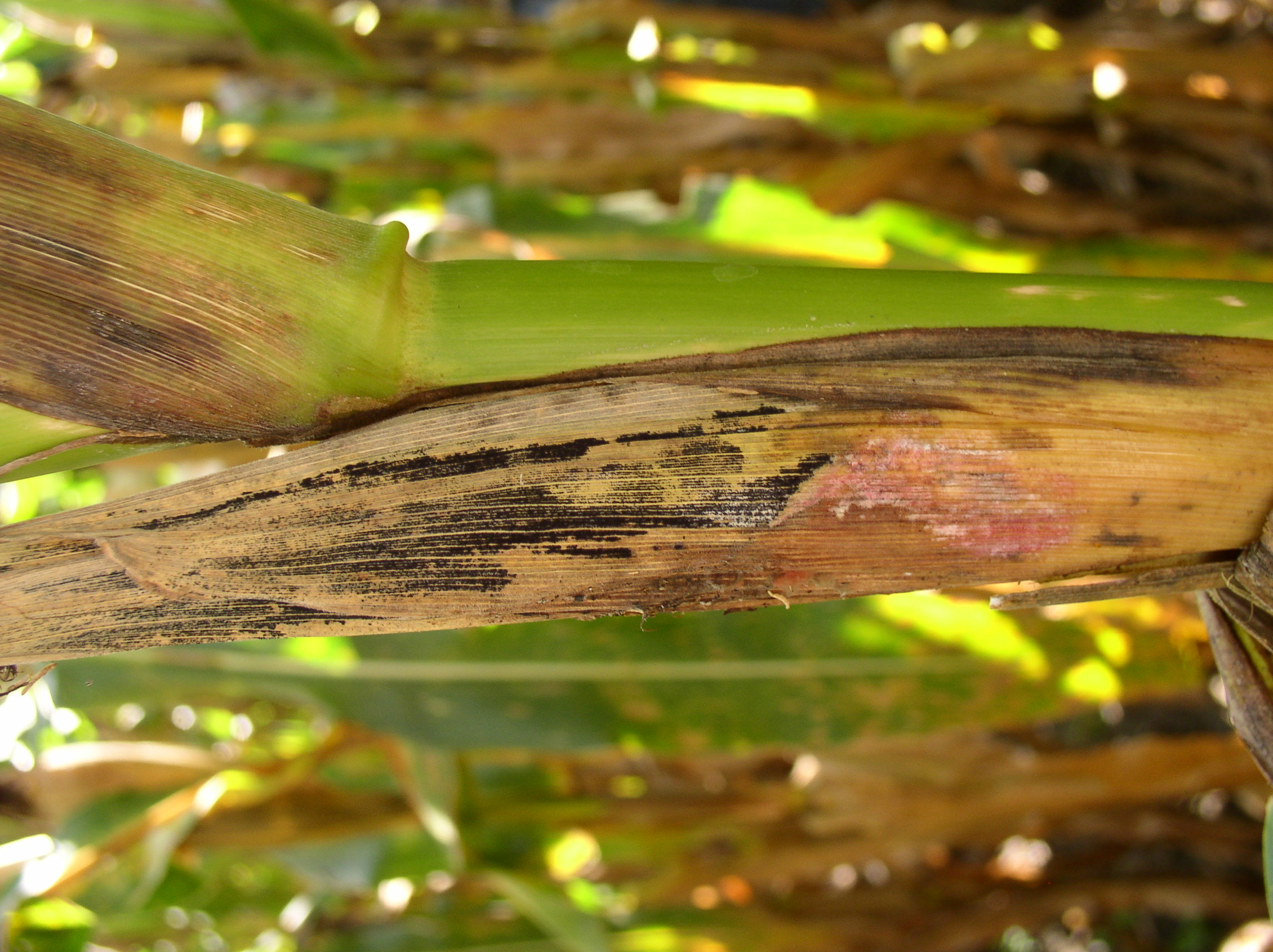 In severe cases, the pink mold is visible on the outside of the husks.