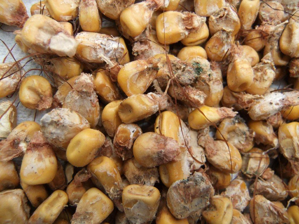 Kernels with Gibberella ear rot.