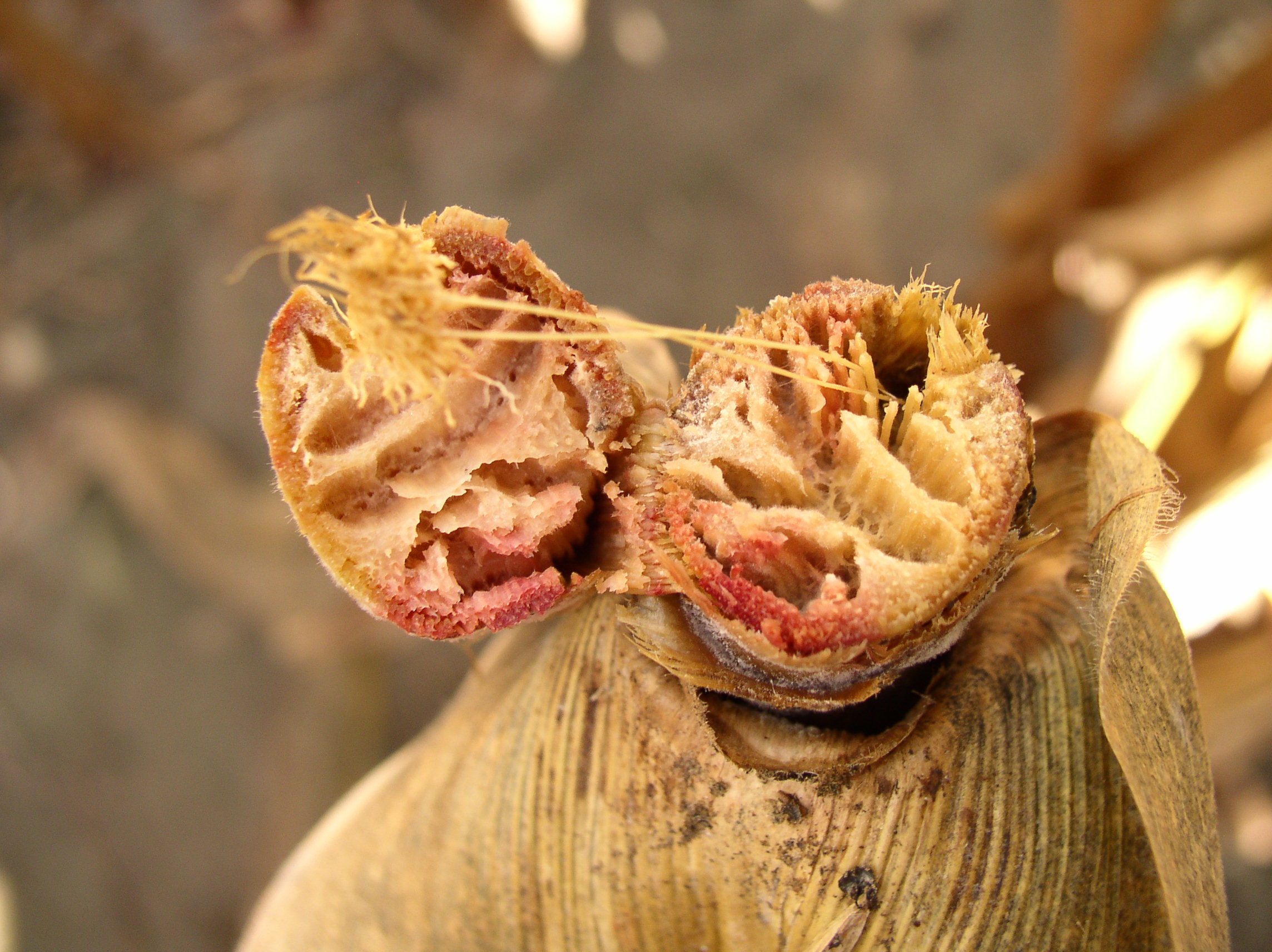 Internal stalk discoloration indicative of Gibberella stalk rot.