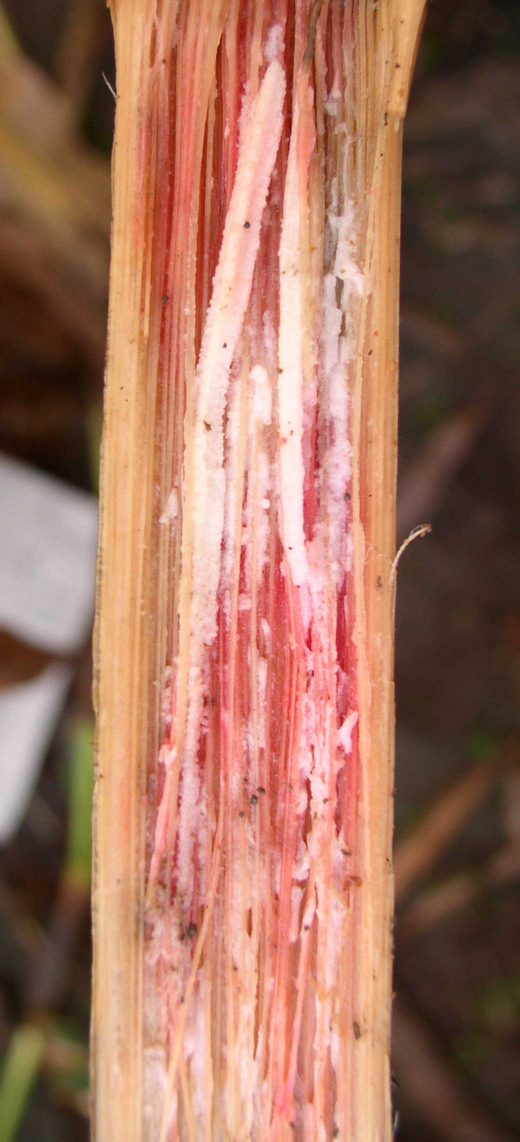 Distinct pink discoloration of pith characteristic of Gibberella stalk rot.