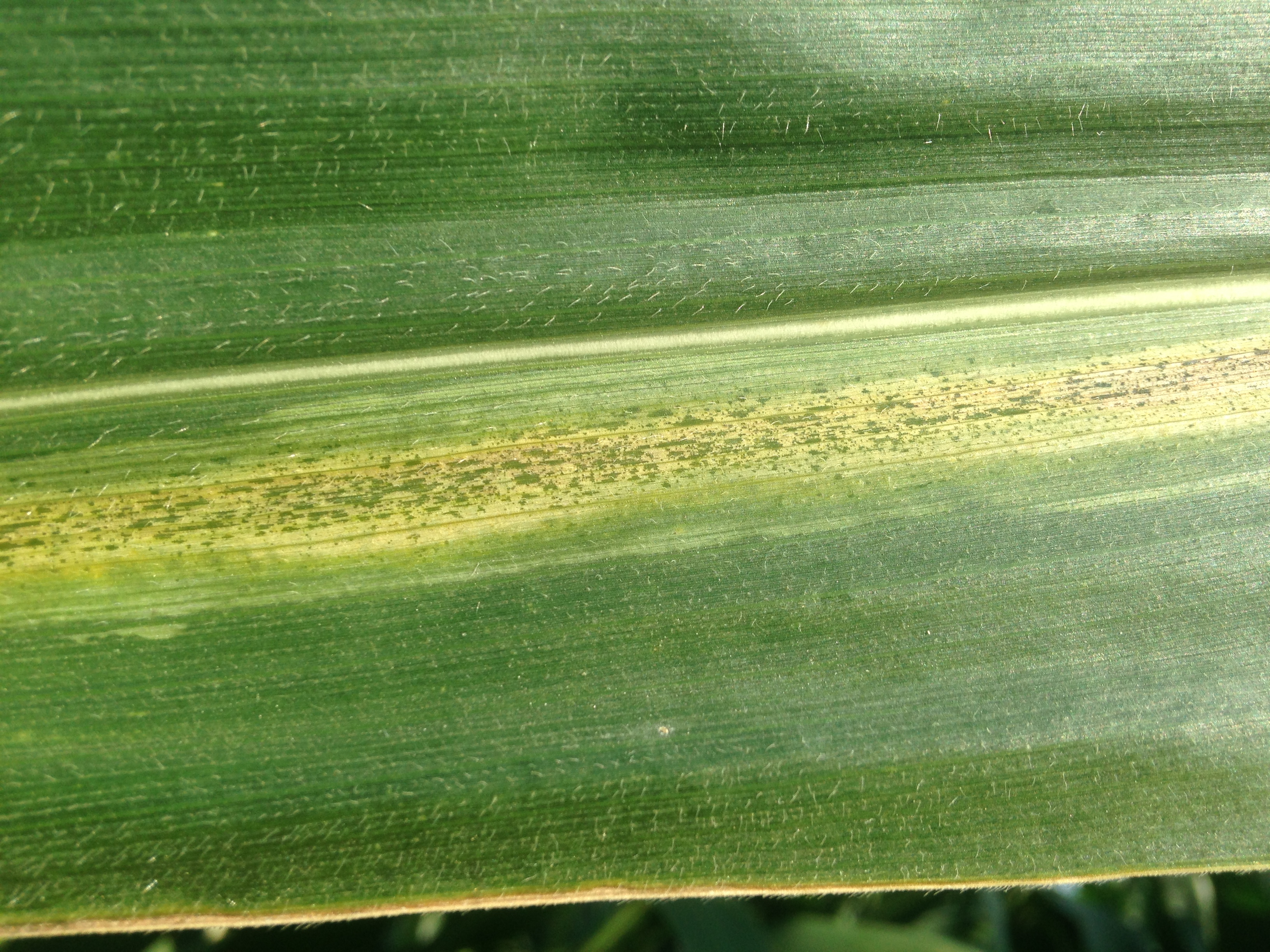 Distinctive freckles visible as dark spots within lesions are indicative of Goss's wilt.