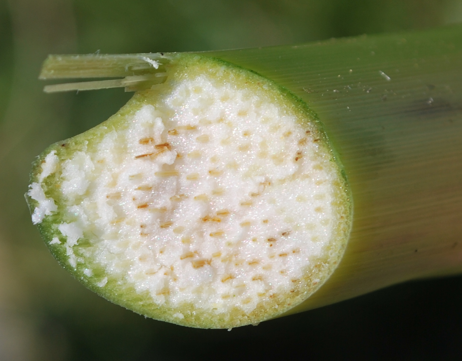 Discoloration of pith symptomatic of Goss's wilt.