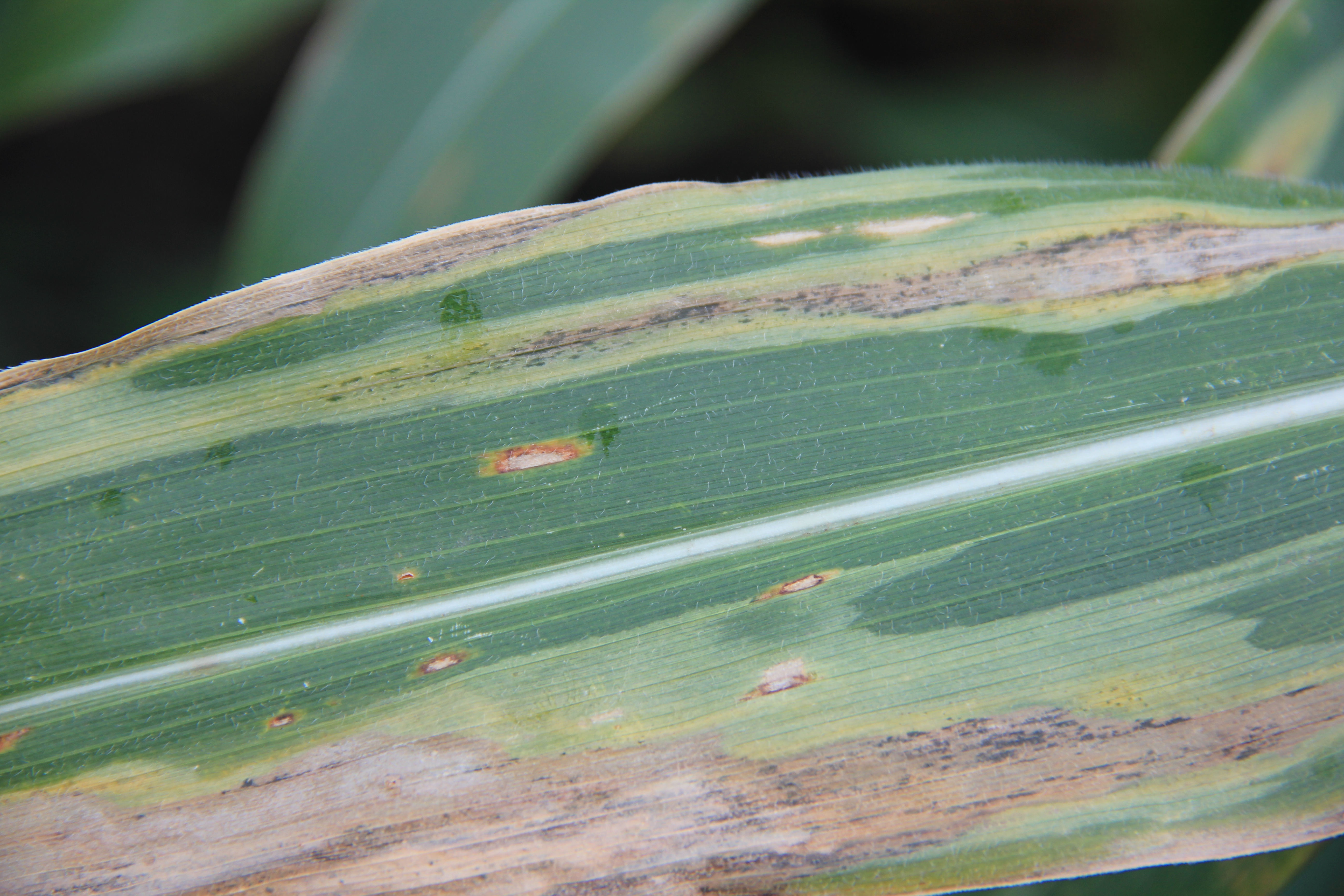 Lesions are long, gray-green to black, water-soaked, and have wavy edges.