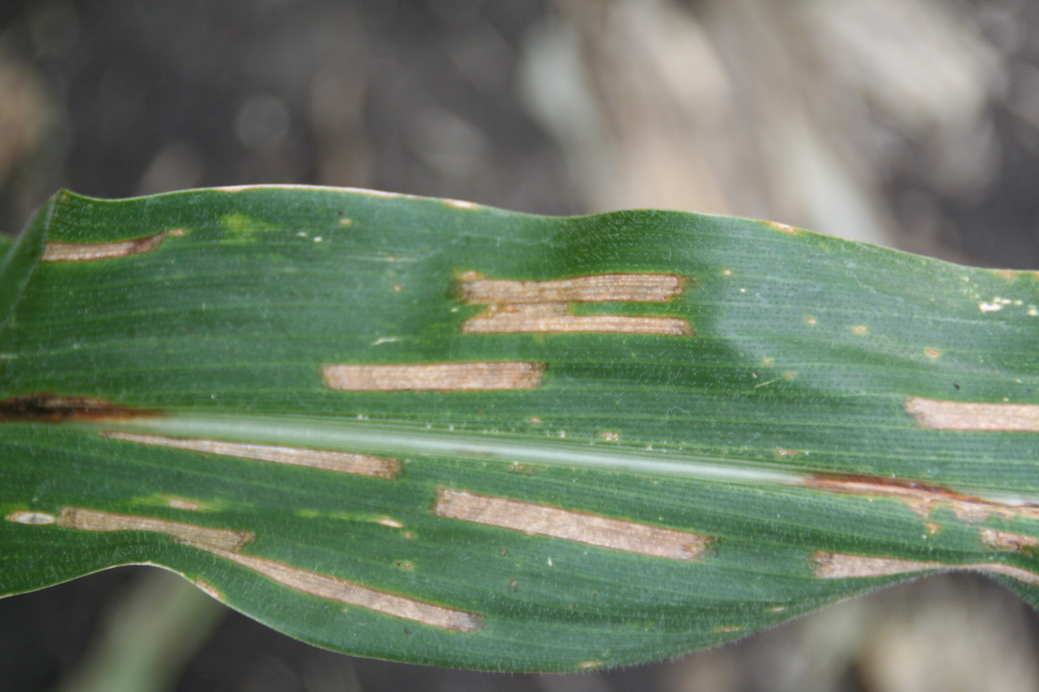 Characteristic rectangular gray leaf spot lesions.