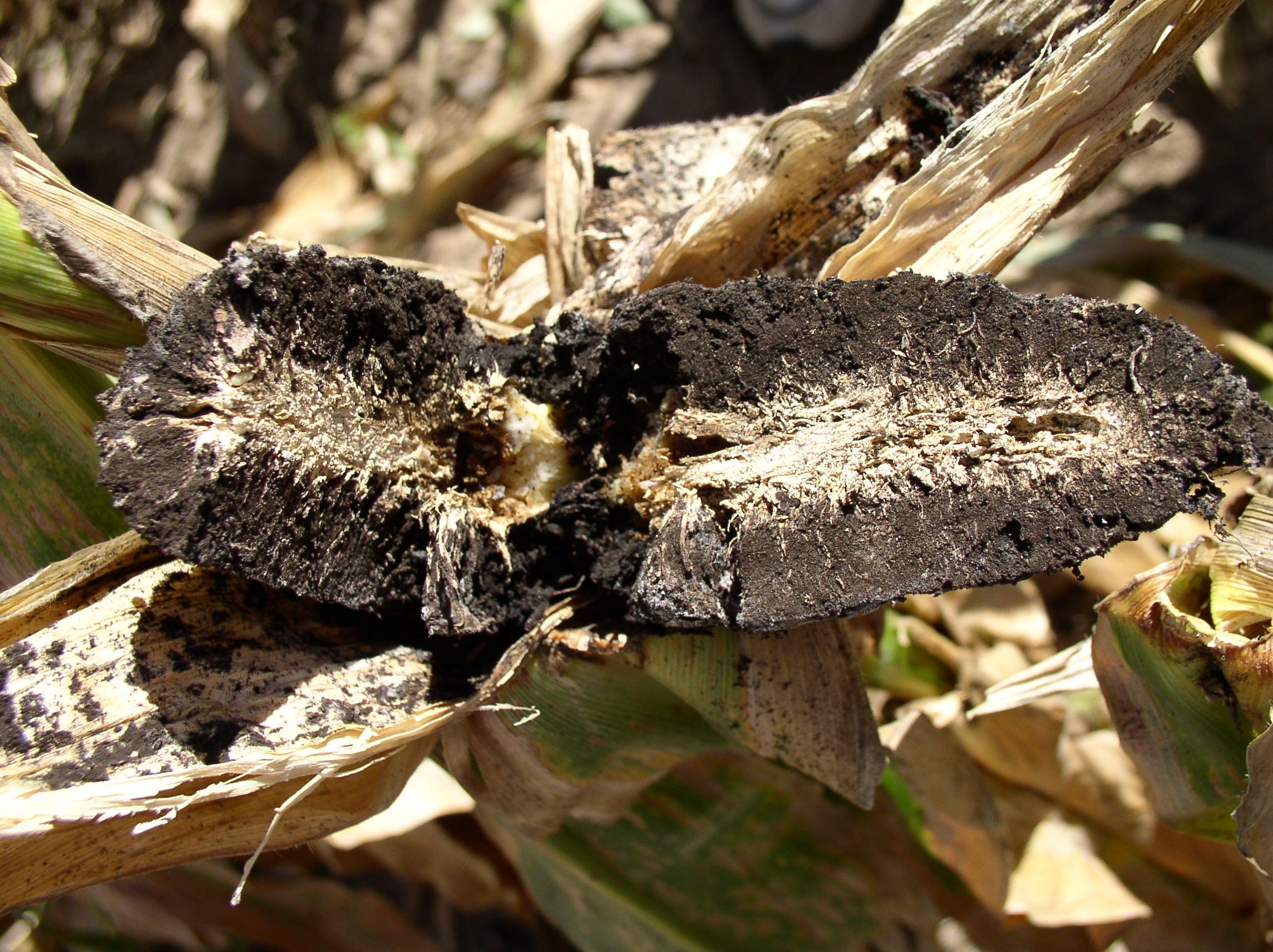 Ear split down the middle showing black spore masses.
