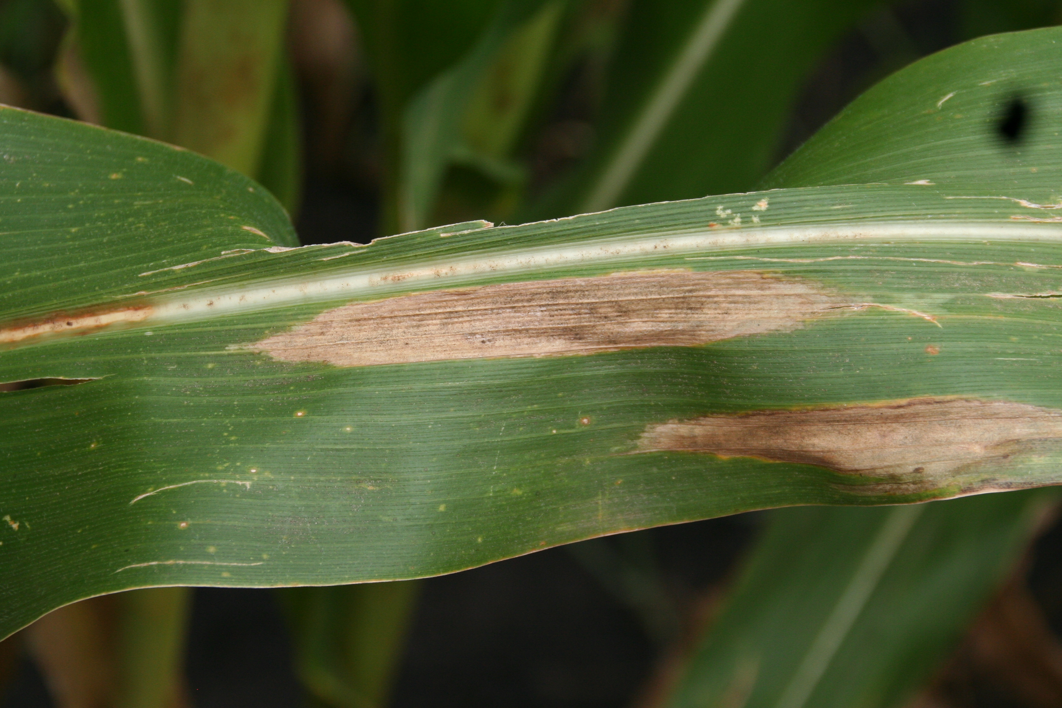 'Cigar-shaped' northern corn leaf blight lesions.