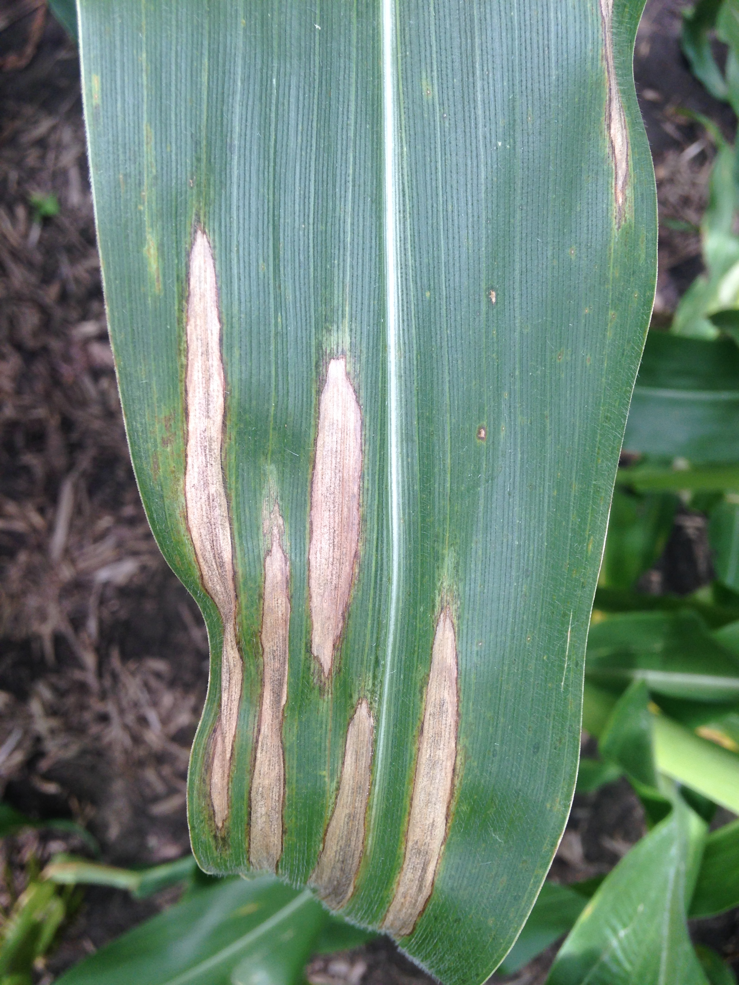 Northern corn leaf blight lesions on corn leaf.