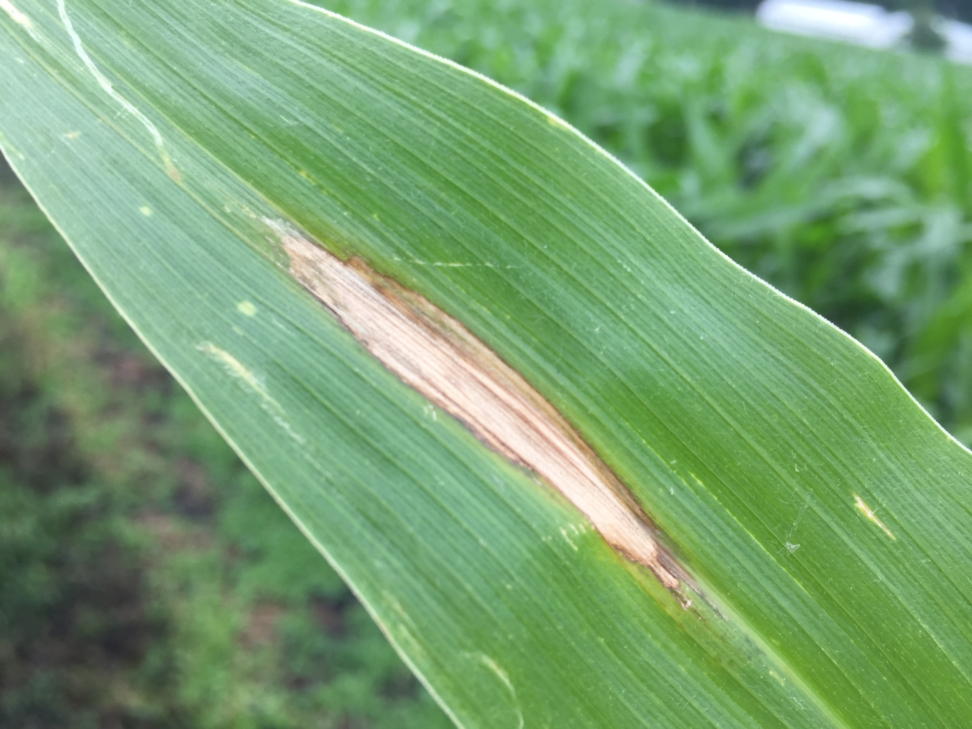 'Cigar-shaped' northern corn leaf blight lesion.