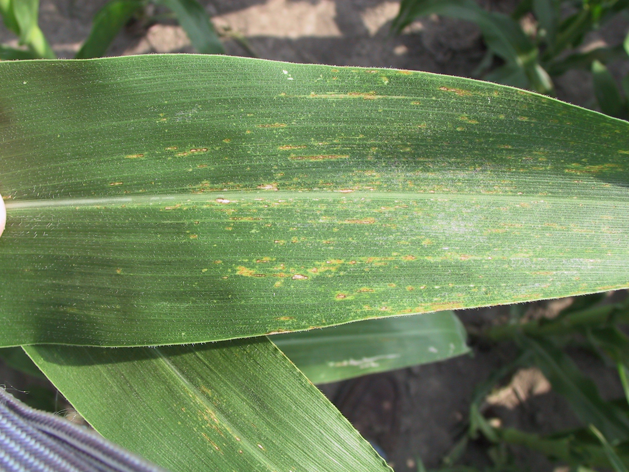 Northern corn leaf spot lesions.