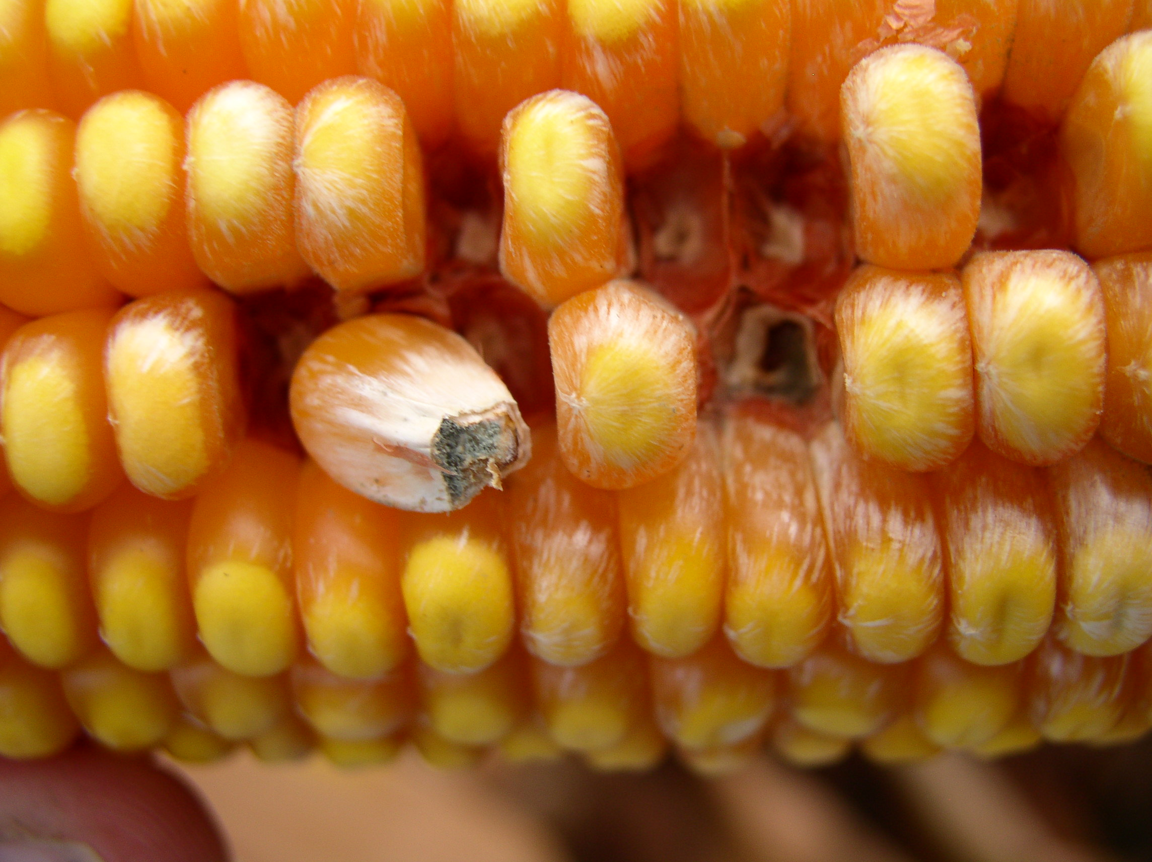 Infected kernels can appear bleached or streaked.