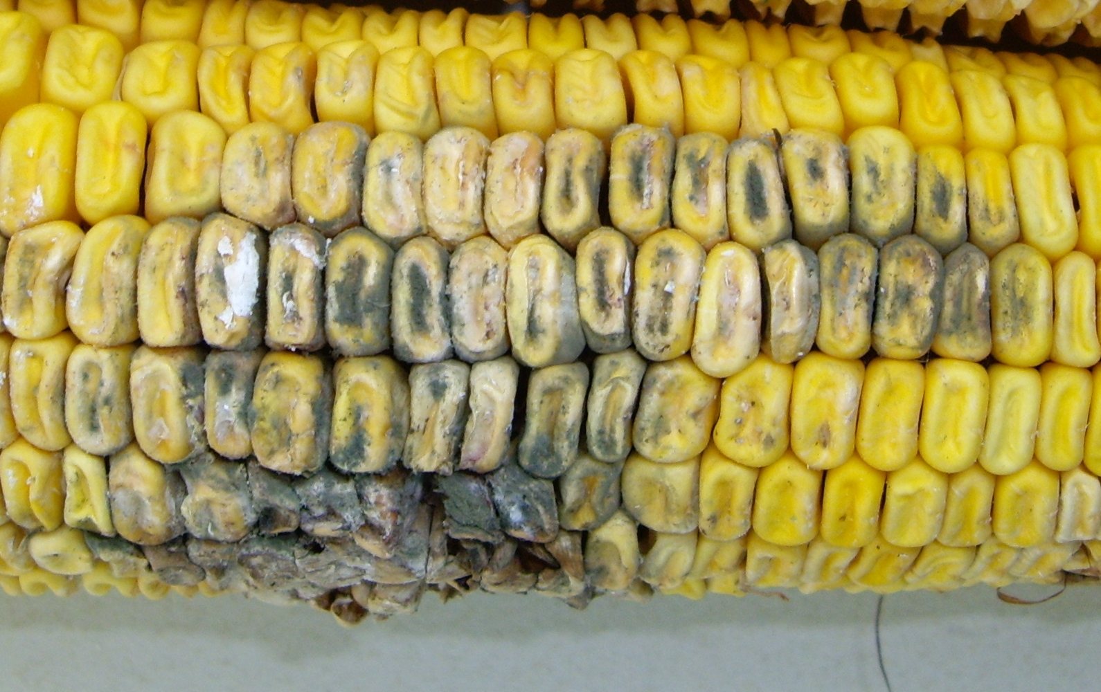 Penicillium ear rot associated with hail injury to the ear.