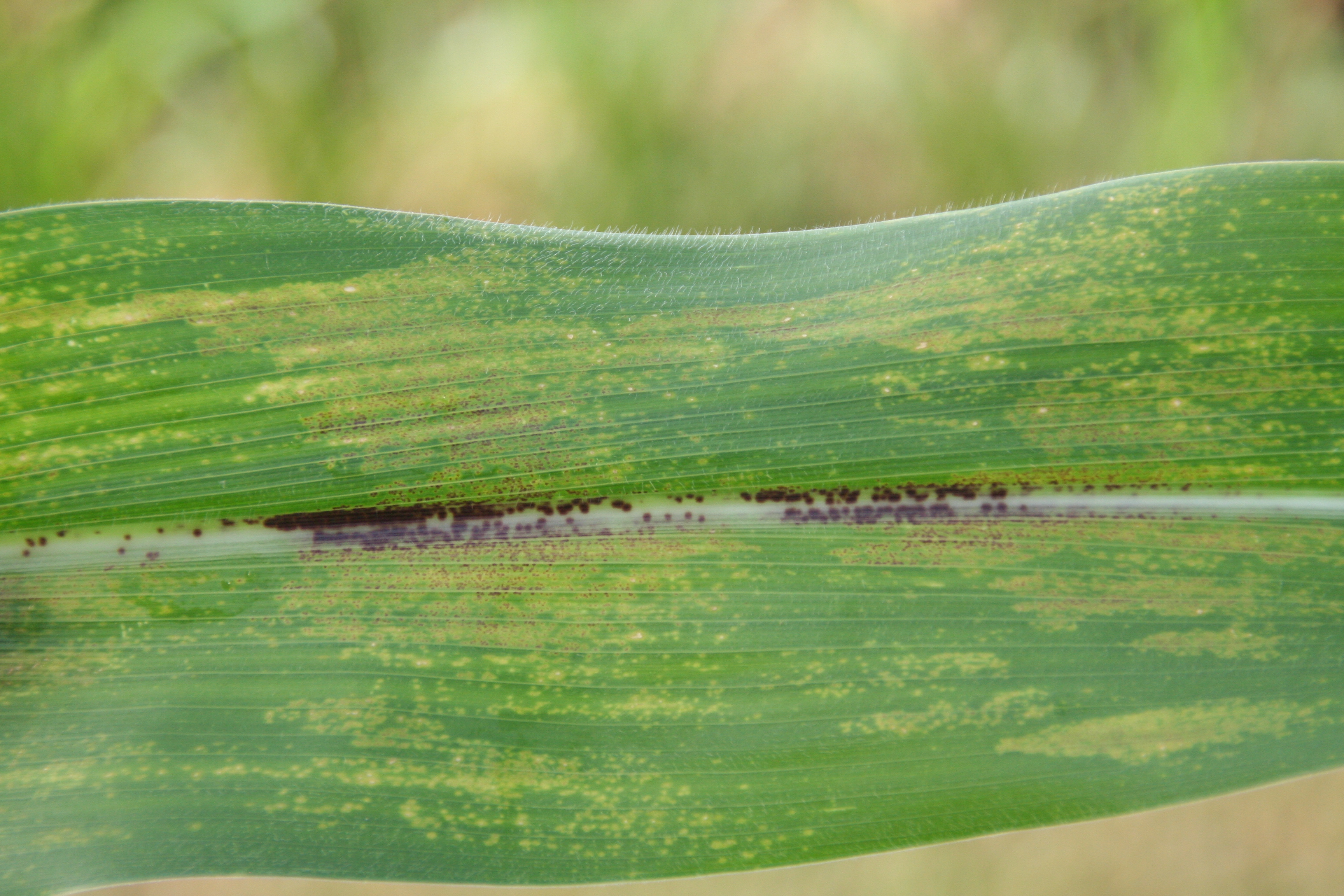 Physoderma brown spot leaf symptoms.