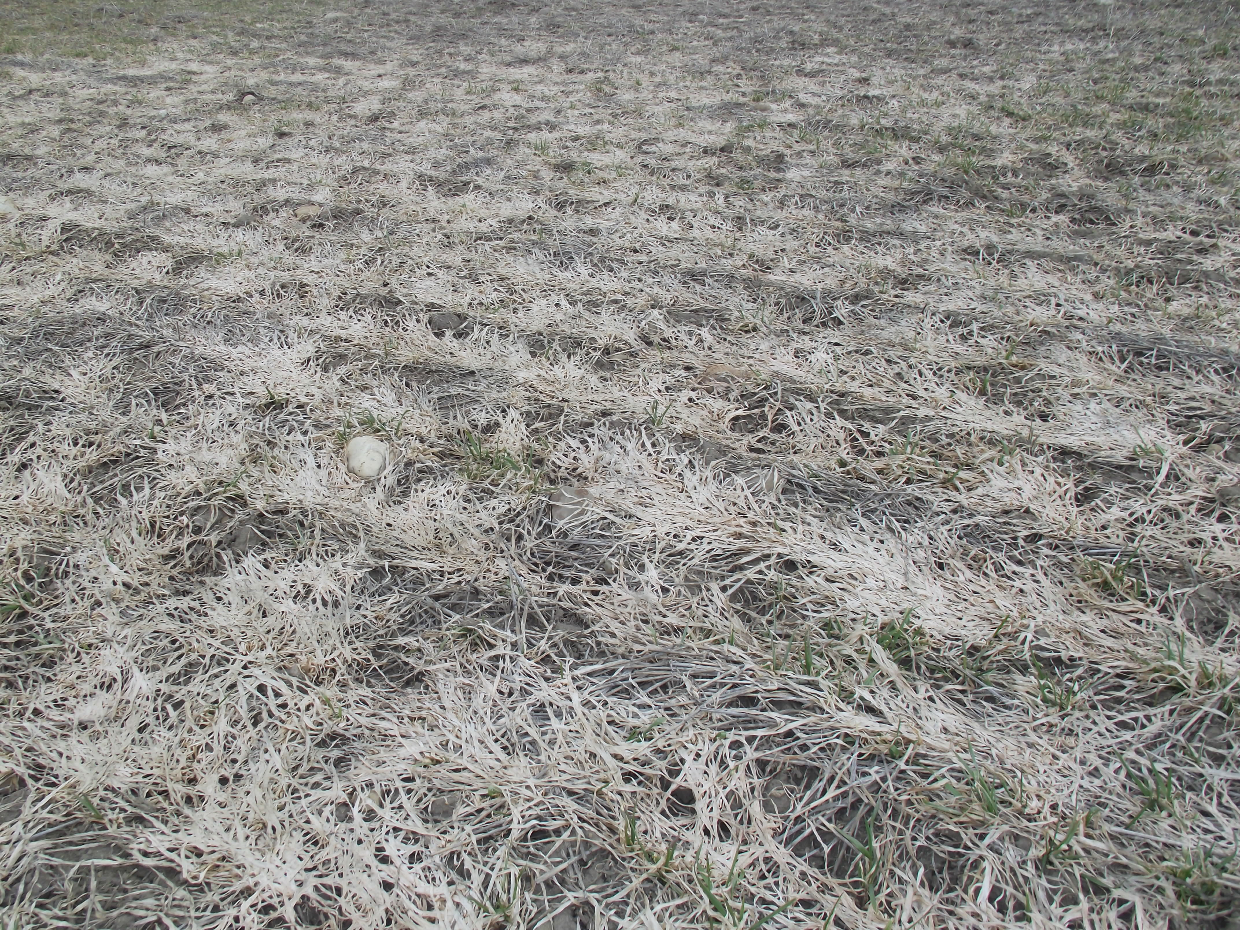 Dead wheat plants resulting from infection by the pathogen causing pink snow mold.