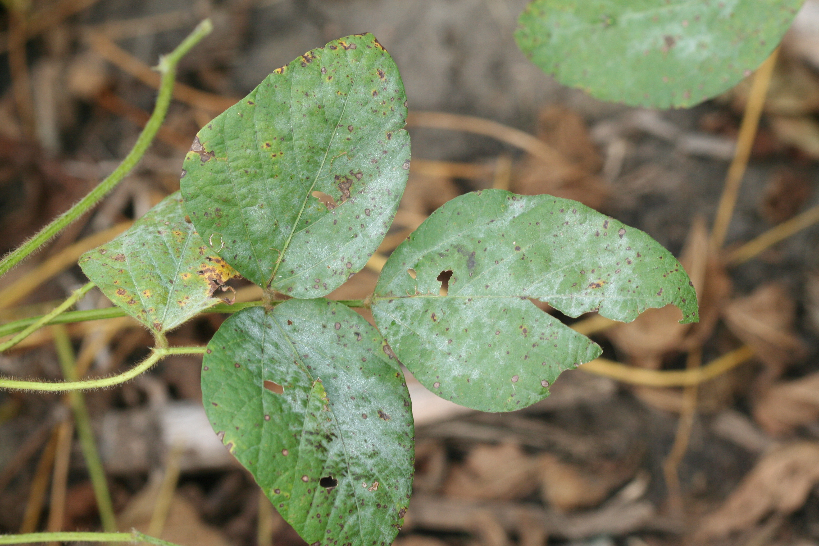 Powdery mildew appears as white, powdery fungal growth on plant tissue.