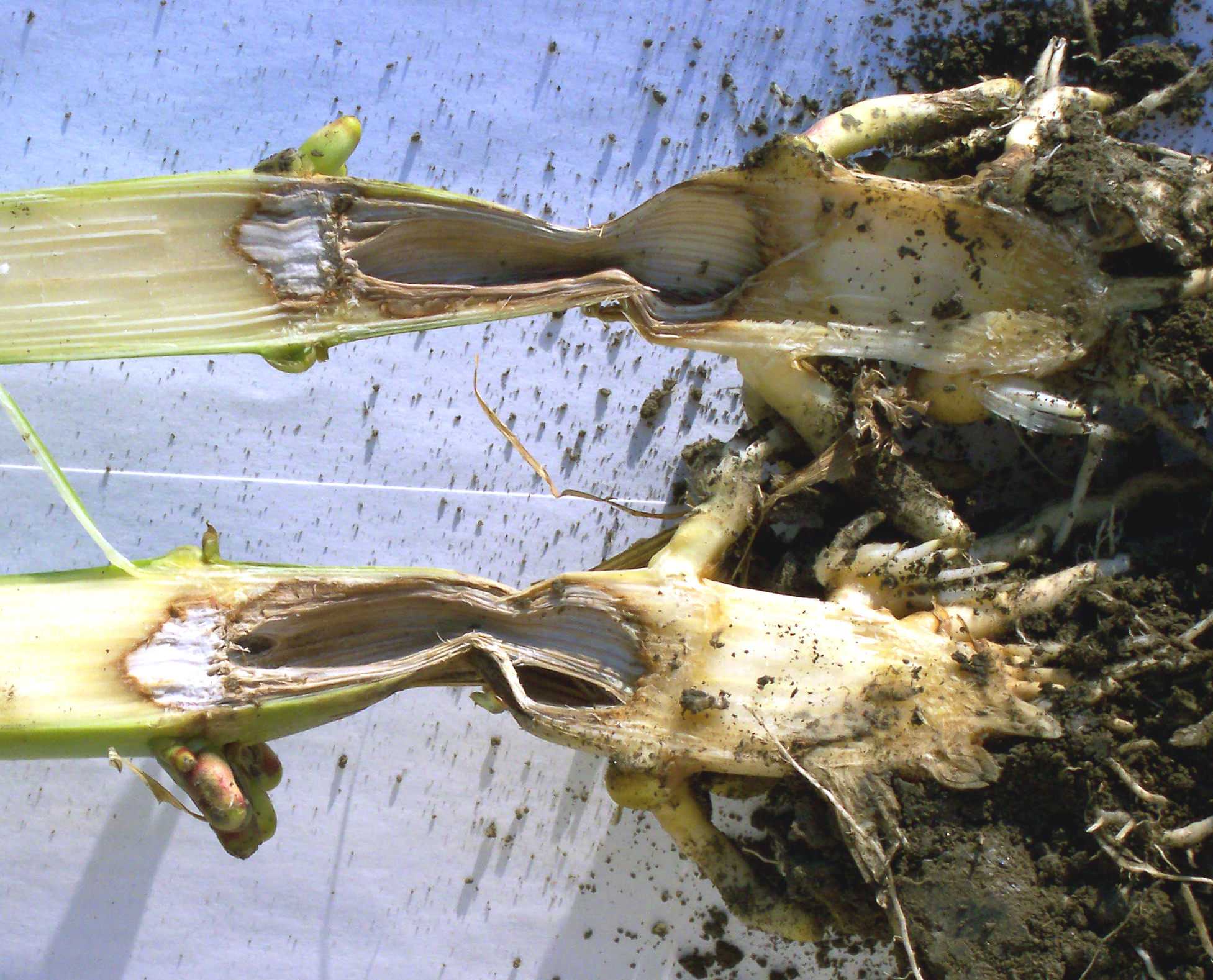 Pythium stalk rot causes decay of the first internode above the soil.