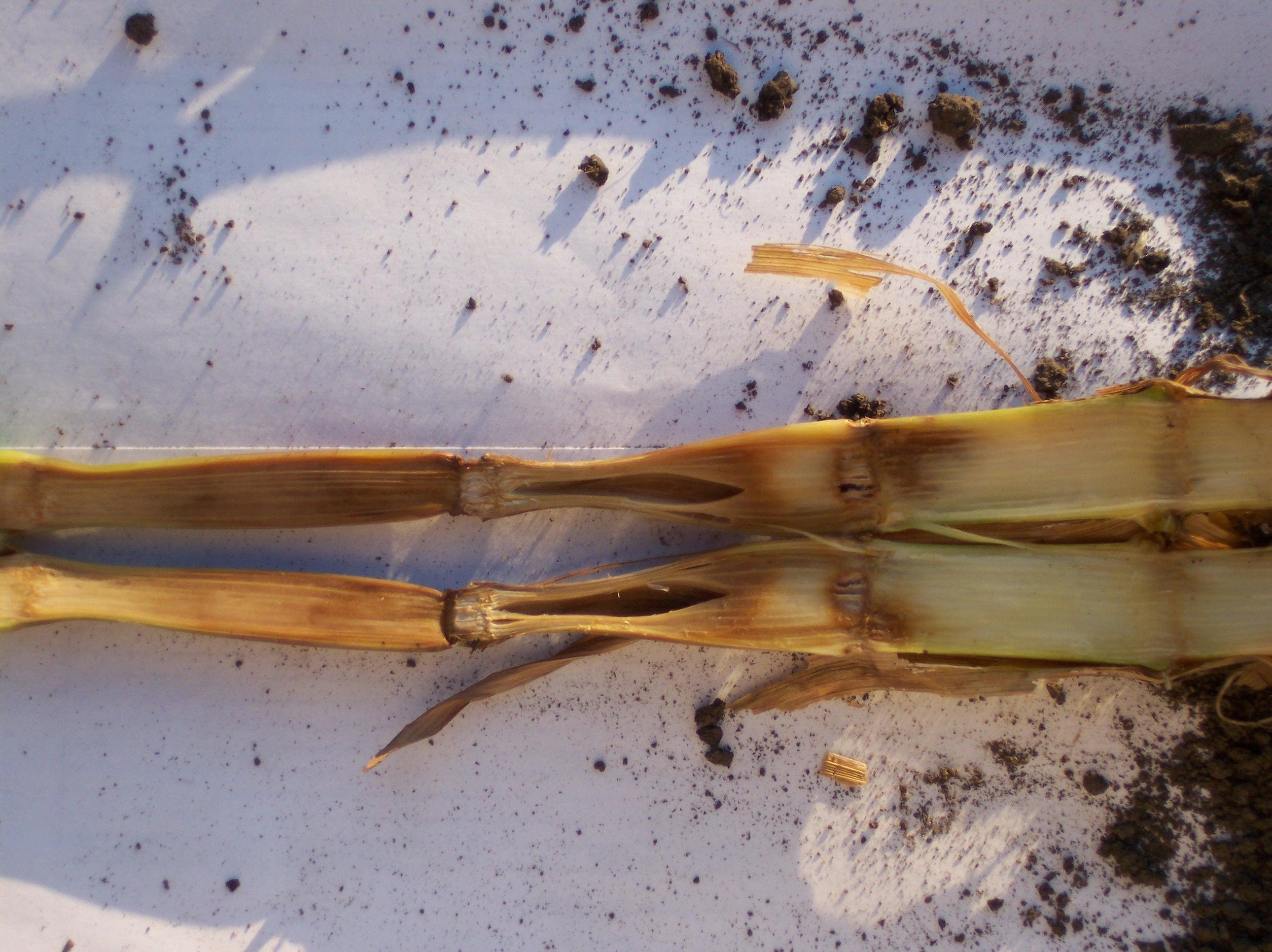 Symptoms of Pythium stalk rot.