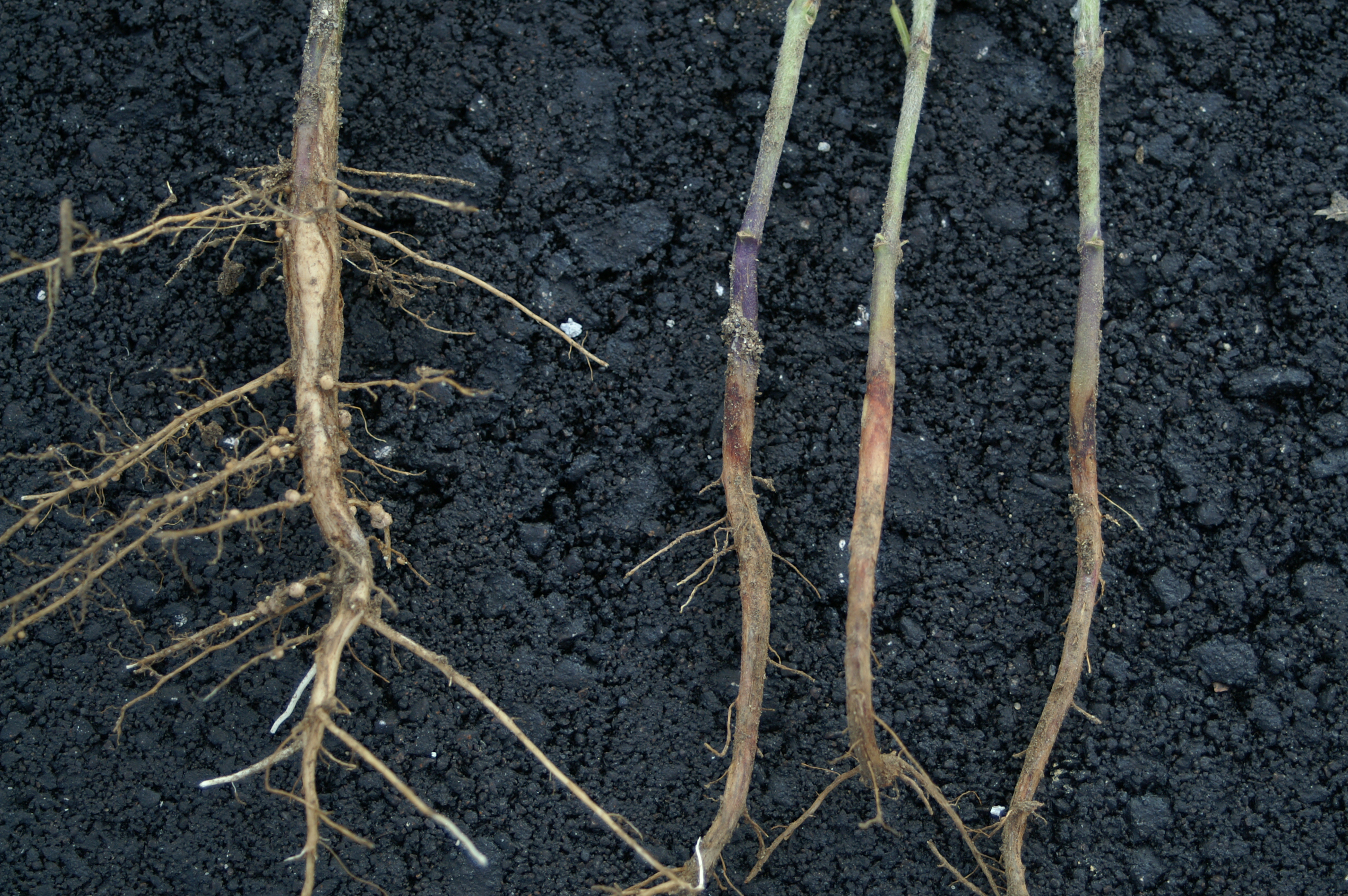 Rhizoctonia infected soybean plants (right) compared to a healthy plant (left).