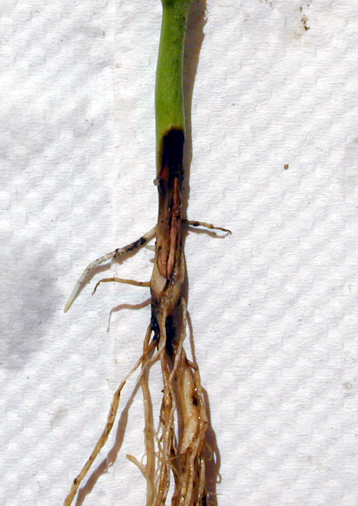 Sunken, dry lesions near the soil line characteristic of Rhizocotonia seedling blight and root rot.