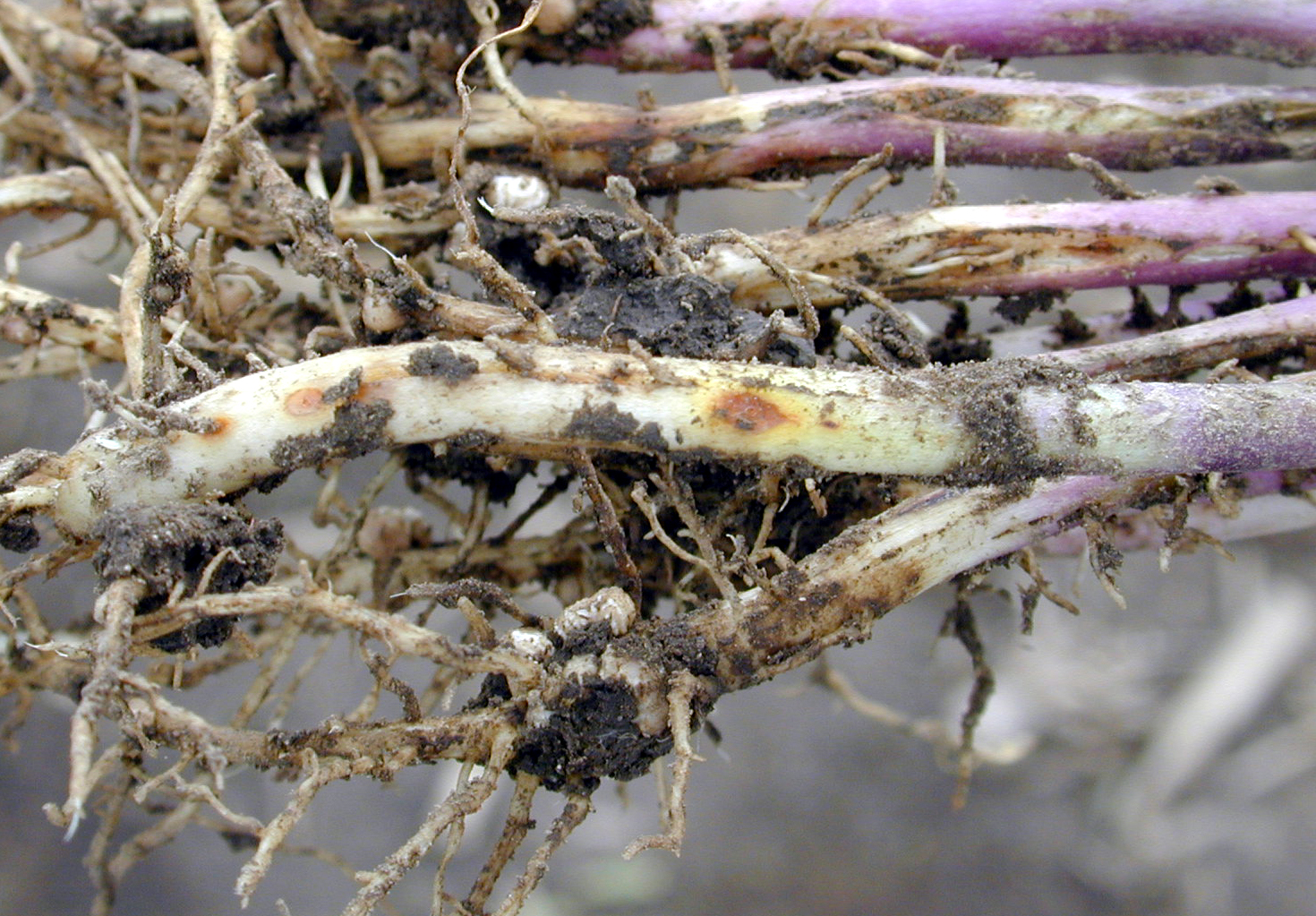 Hypocotyl lesions from Rhizoctonia infection.