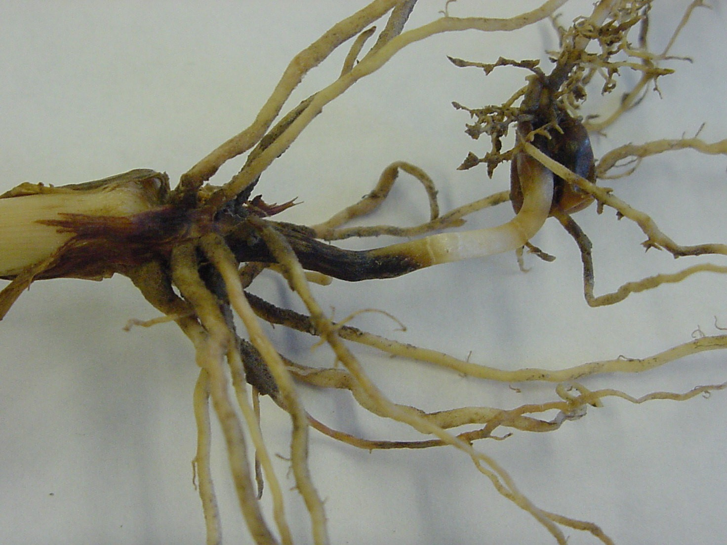 Corn roots that have been dug up and washed, revealing rot.