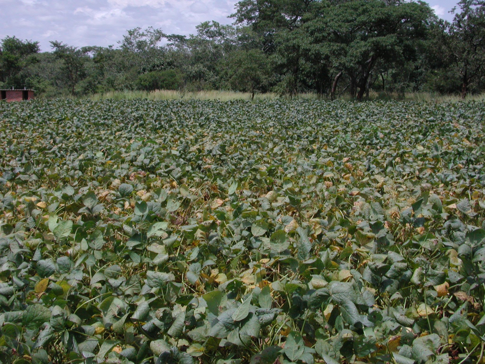 Patch of soybean plants with soybean rust.