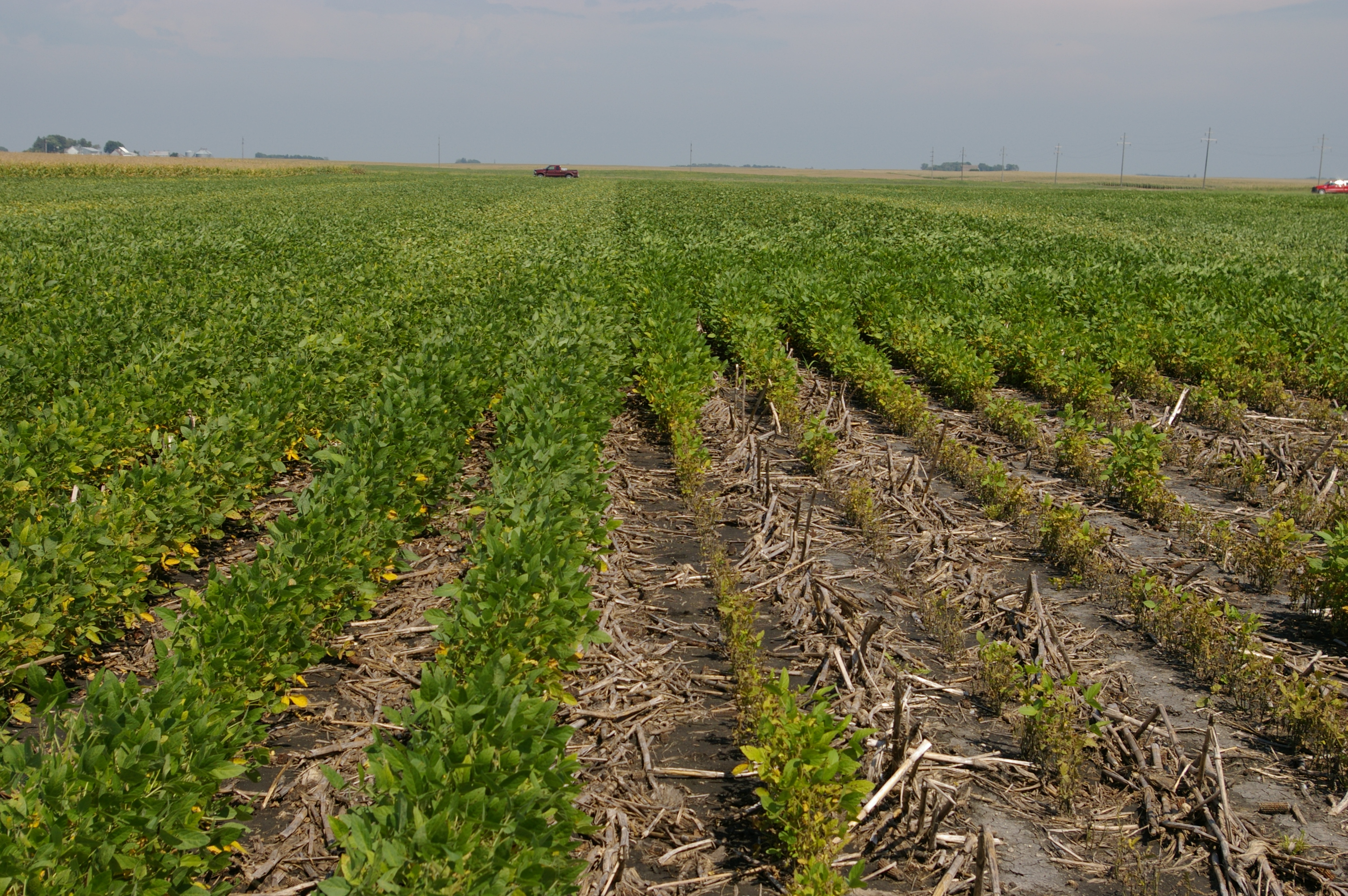 Soybeans susceptible to soybean cyst nematode (right) compared to a more resistant variety.