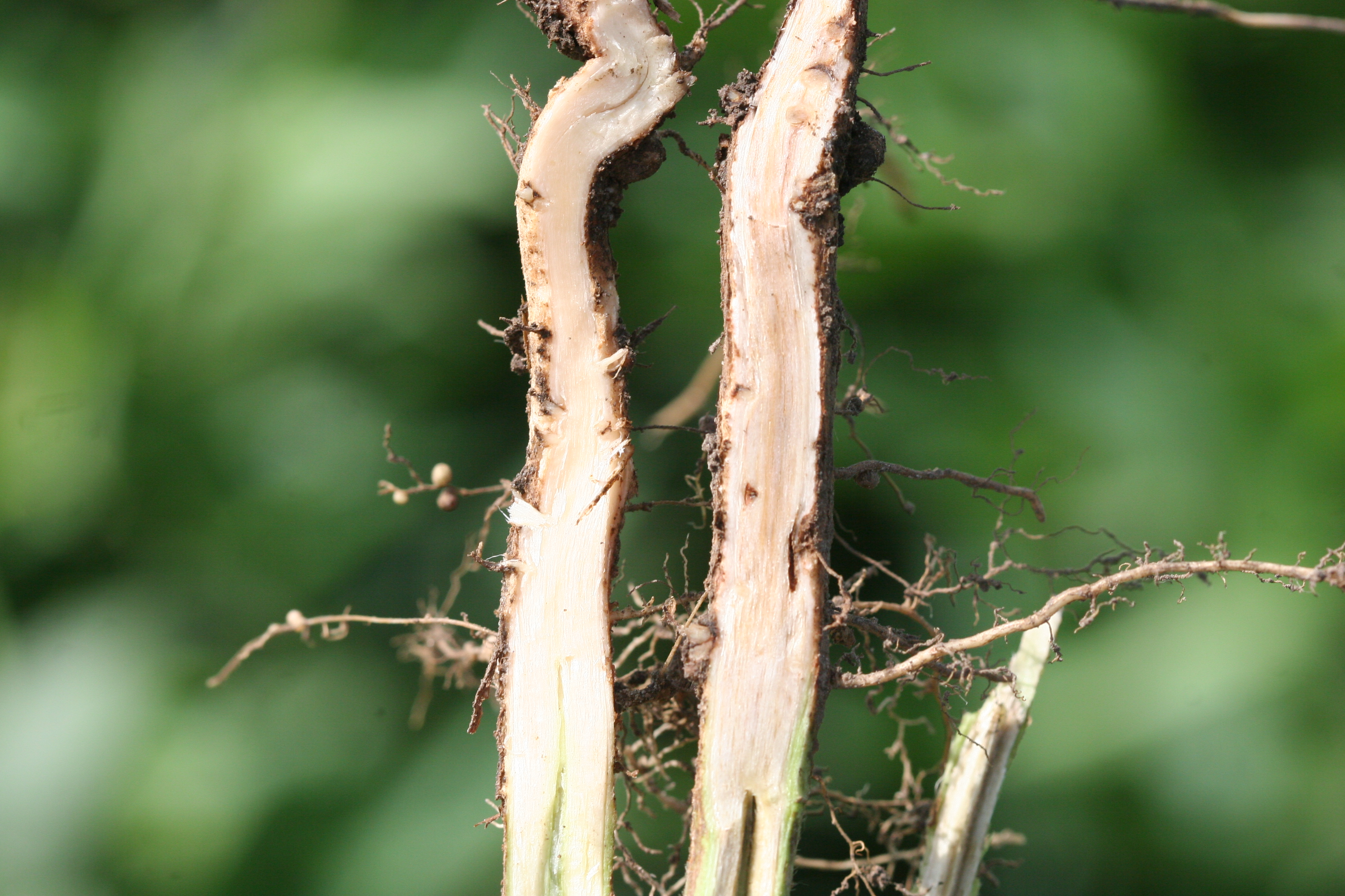 Woody tissue of the taproot is discolored light gray to brown.