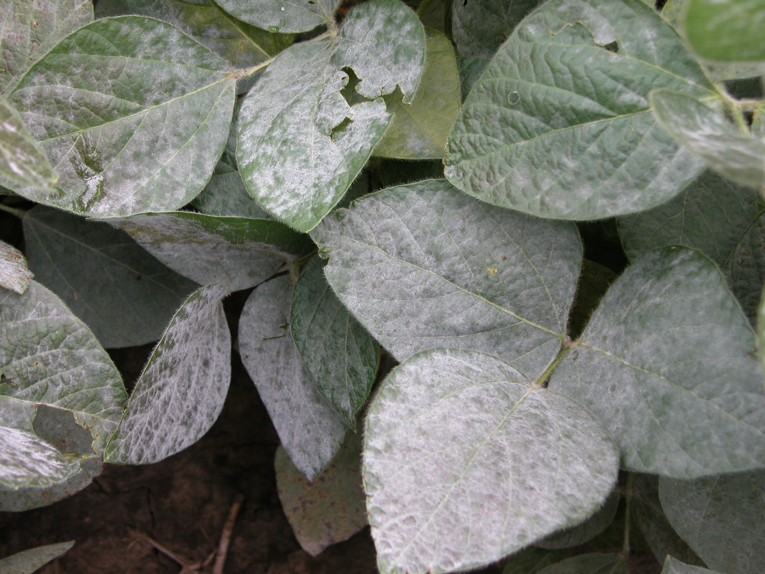 Severe powdery mildew signs covering soybean leaves.