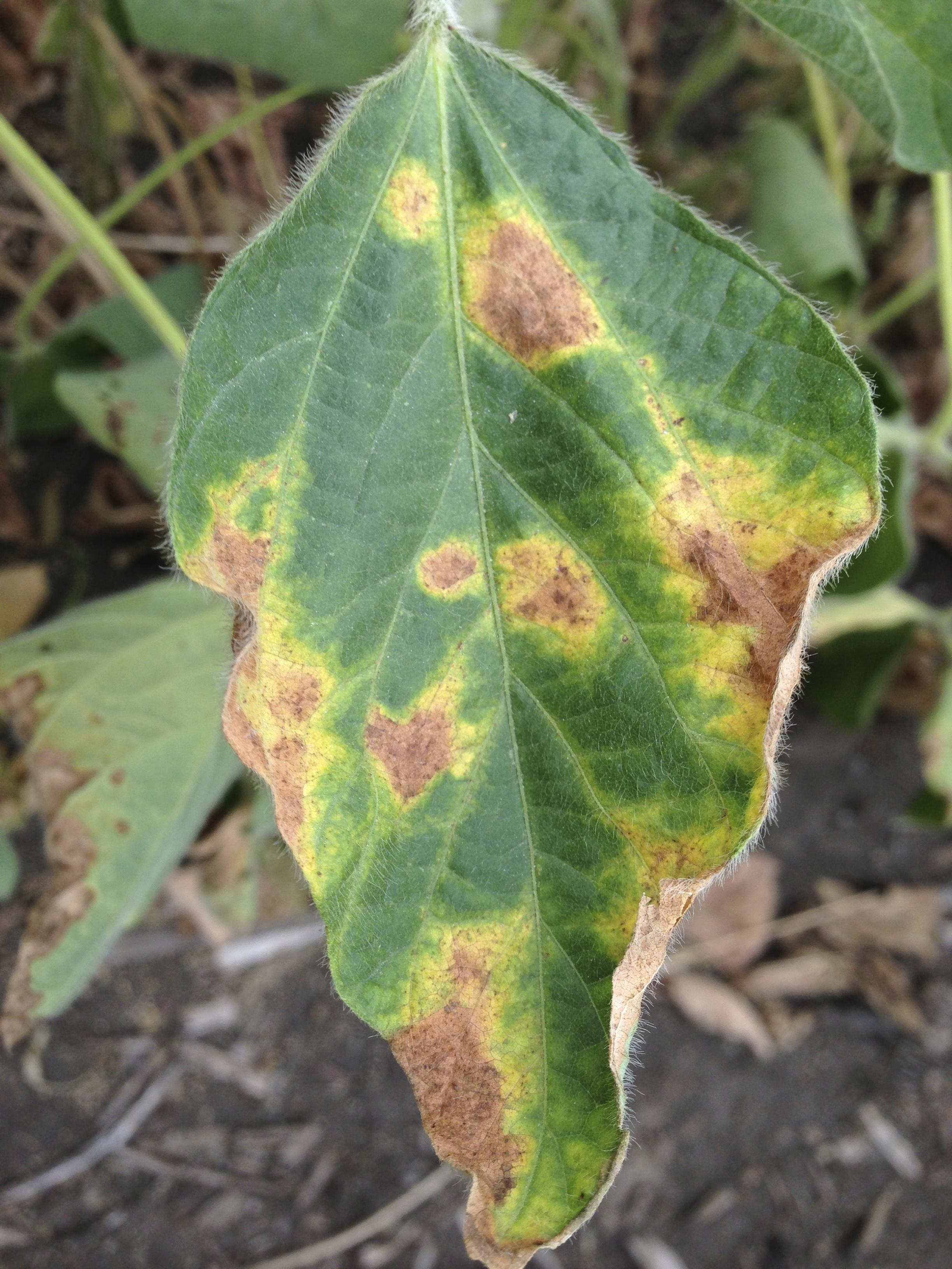 Later soybean vein necrosis lesions.