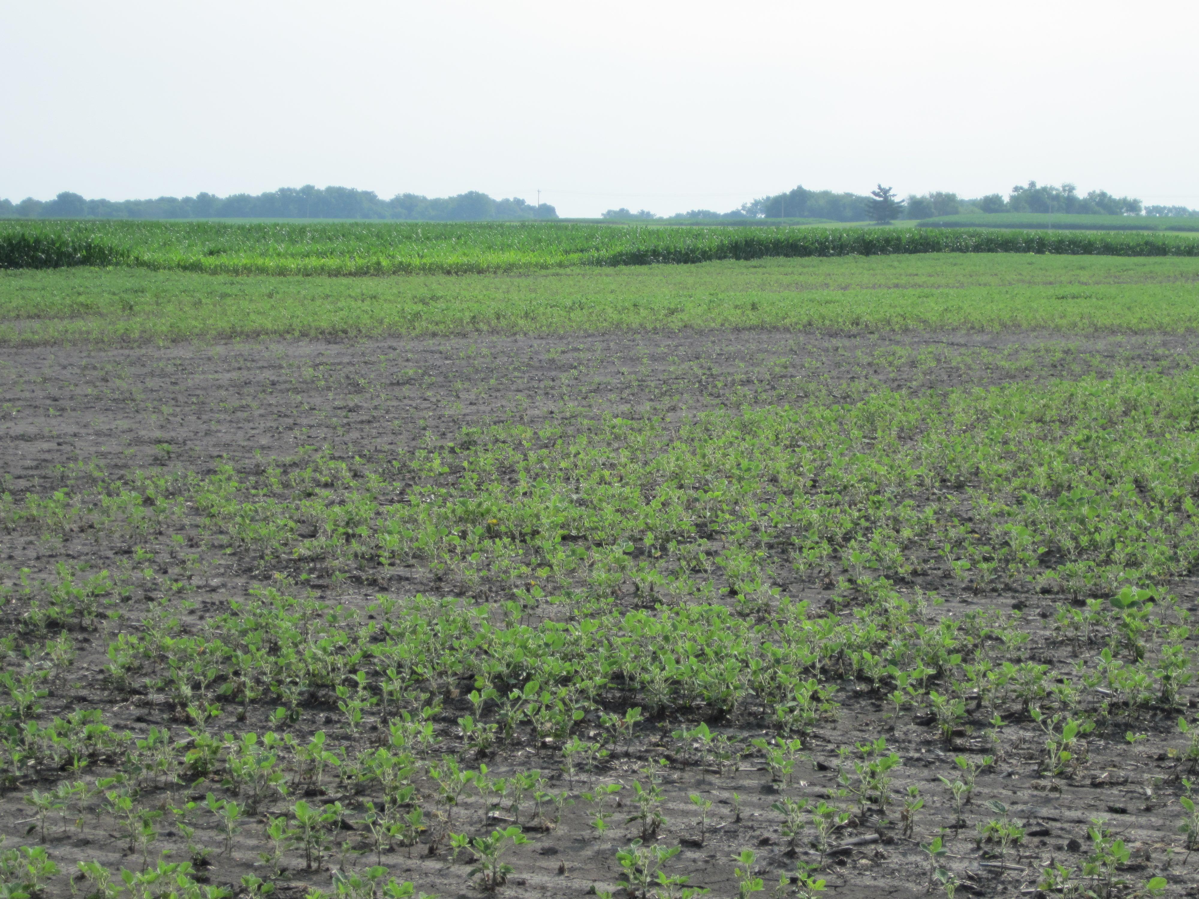 Area of soybean field killed by seedling blight.