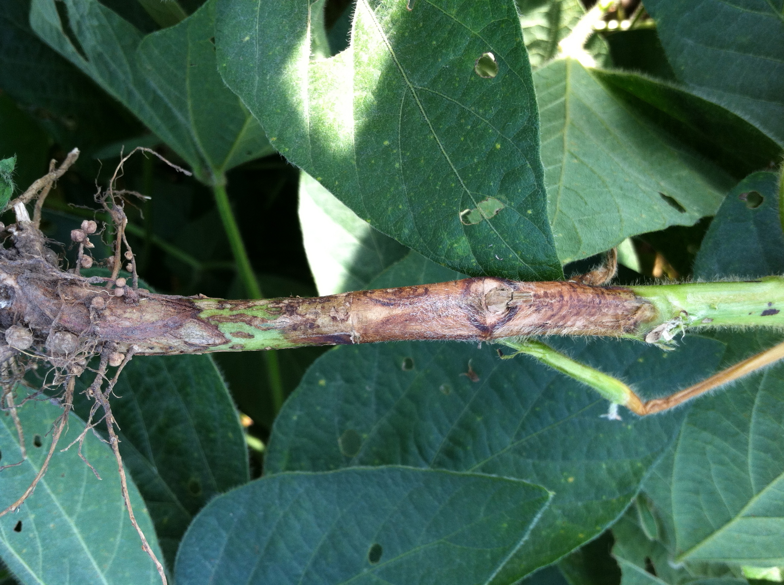 Characteristic stem canker lesion on soybean stem.