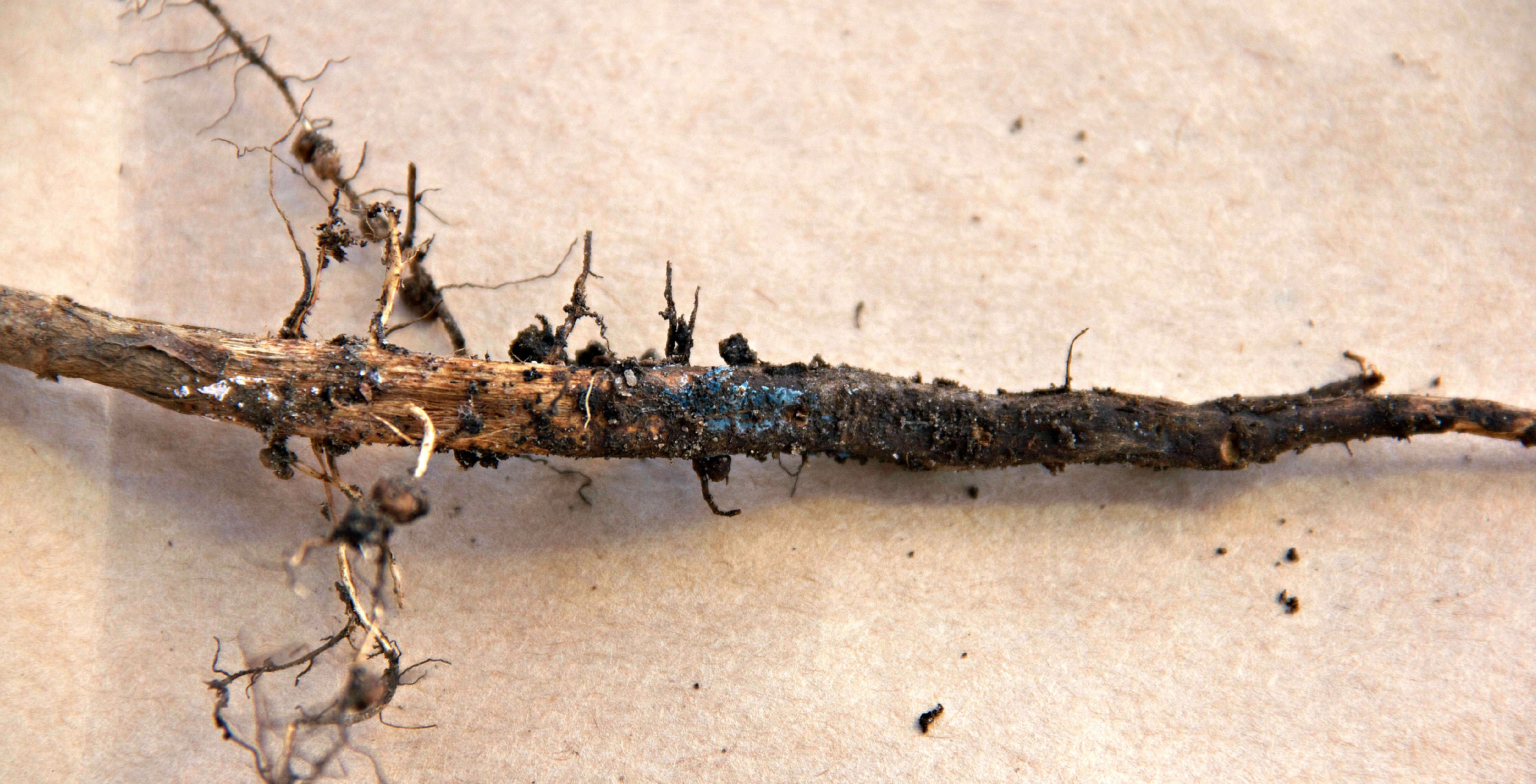 Bluish fungal growth may be seen on the surface of roots if soil moisture is high.