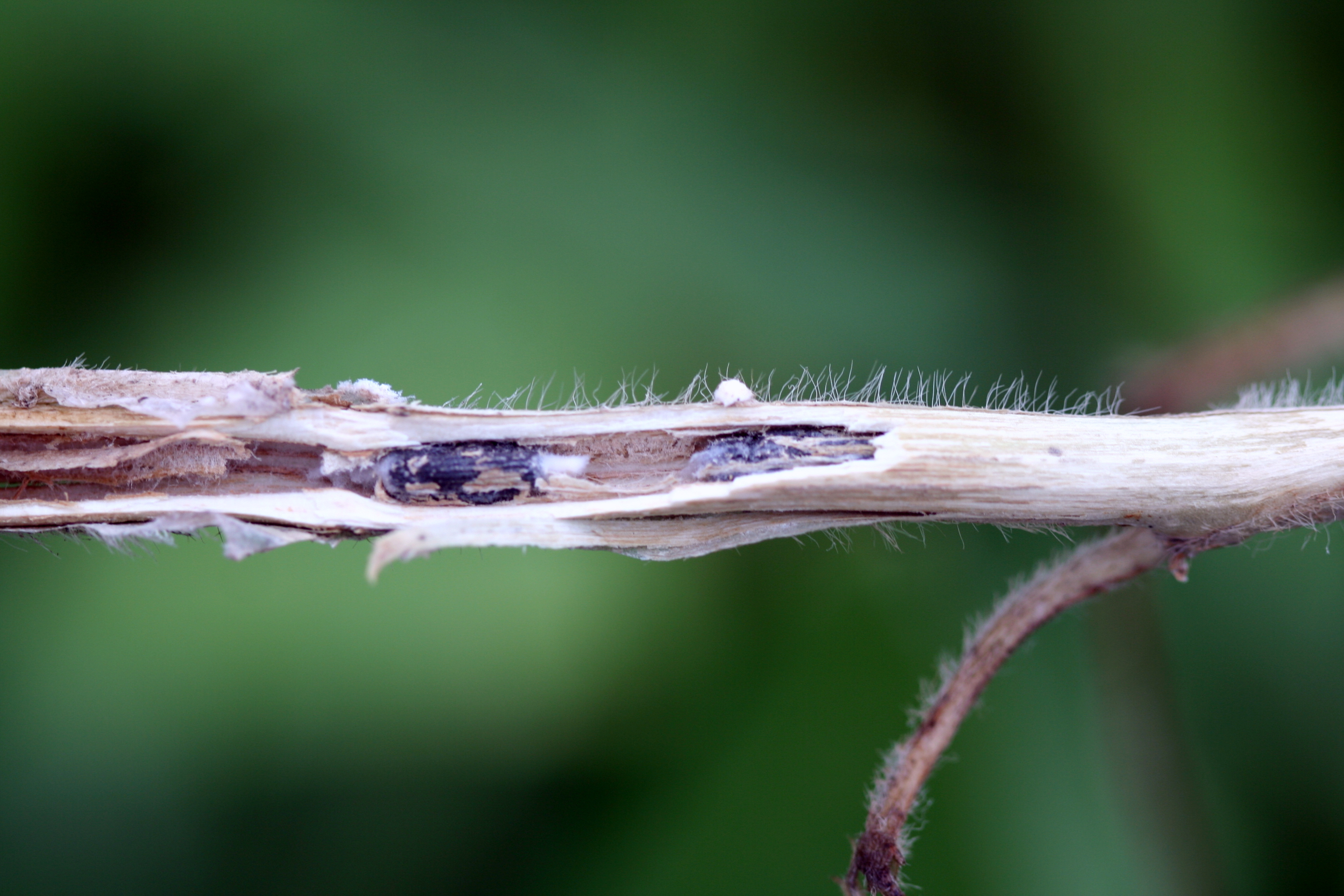 White mold sclerotia in soybean stem.
