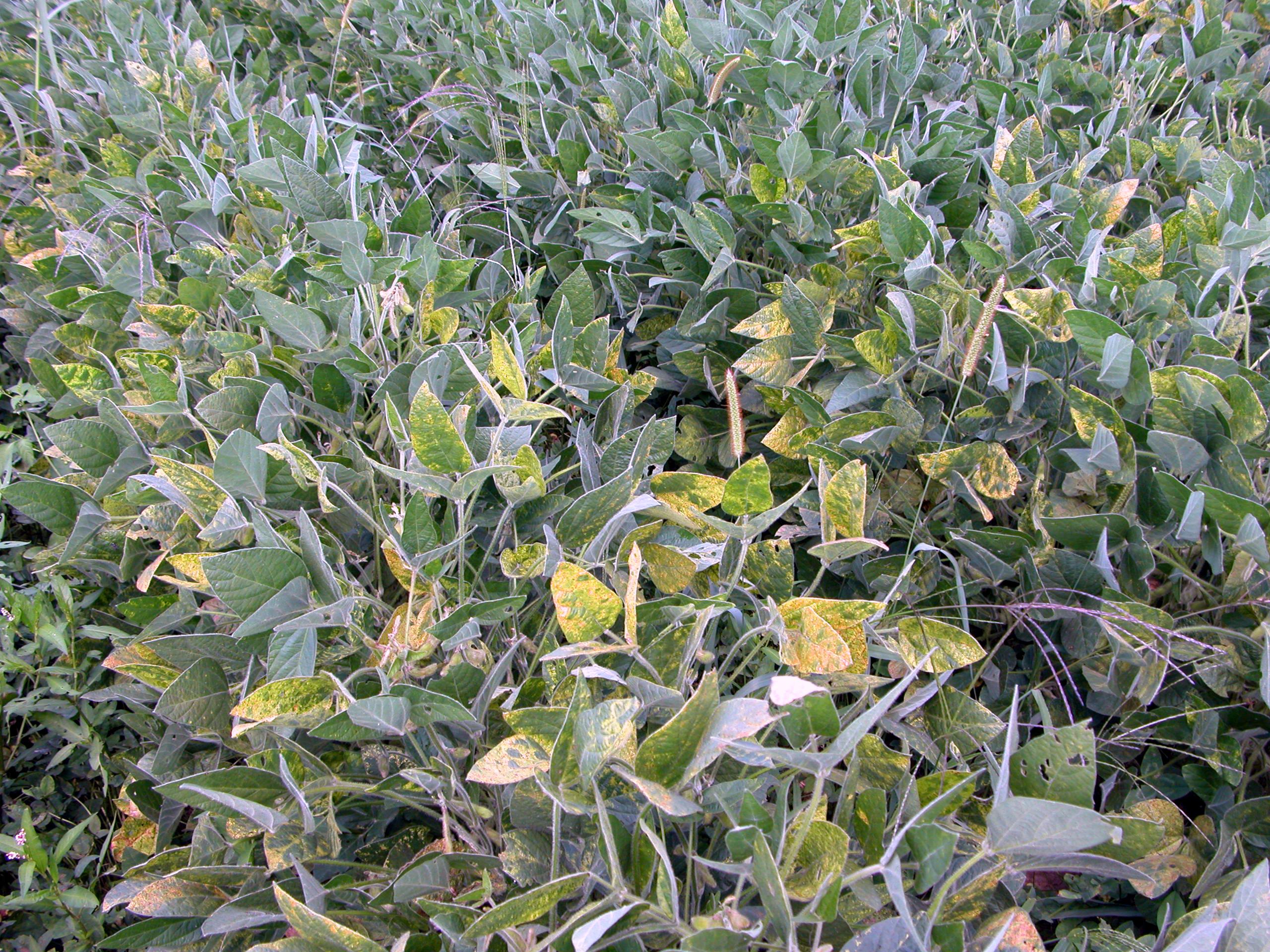 Soybean plants with symptoms of alfalfa mosaic.