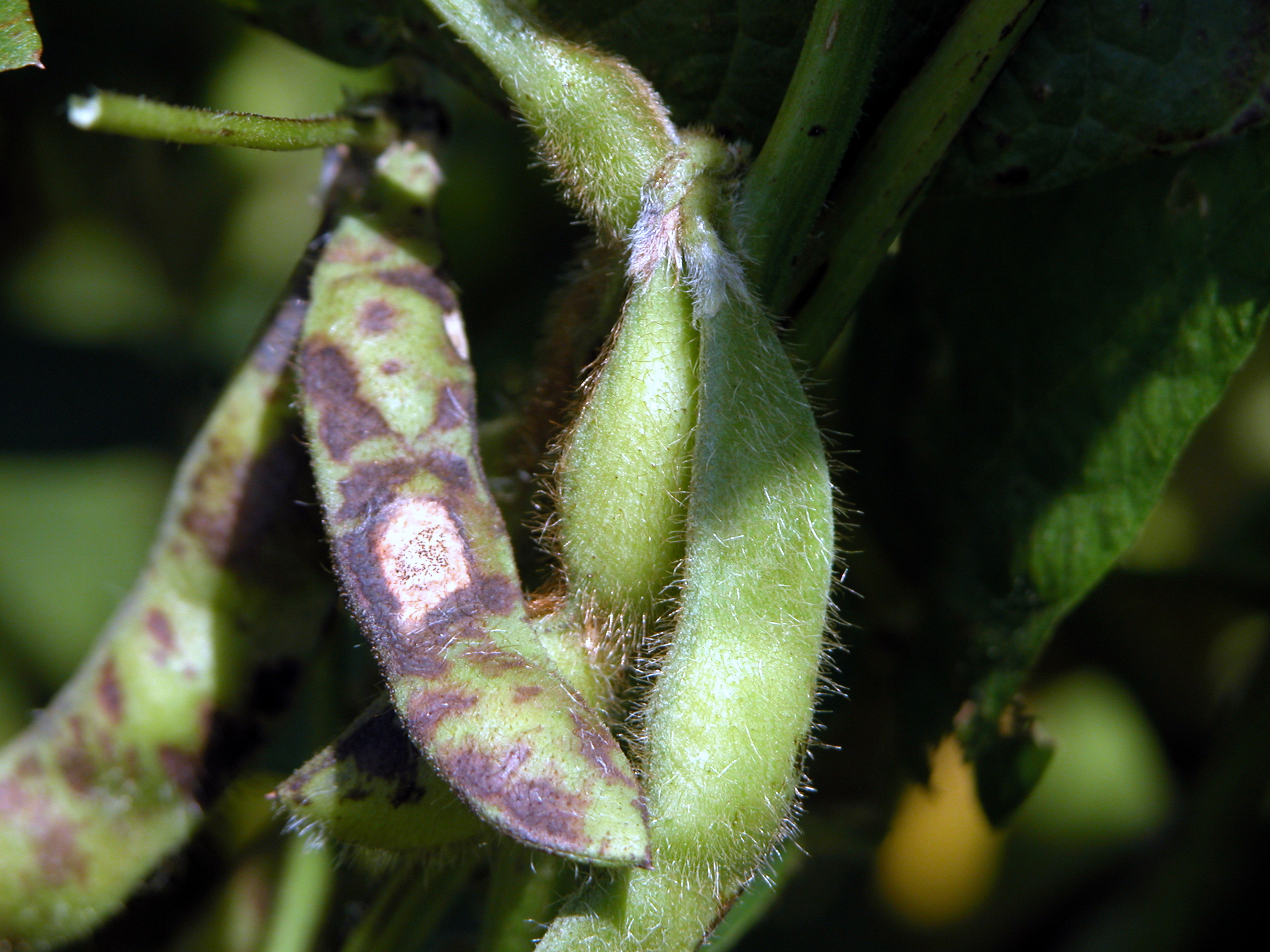 Soybean pod mottling symptomatic of bean pod mottle.