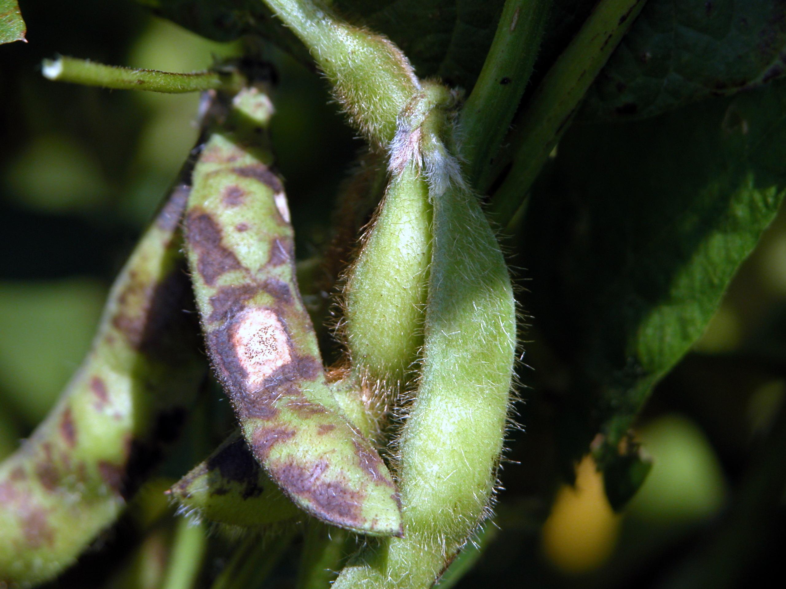 Soybean pod mottling symptomatic of bean pod mottle.