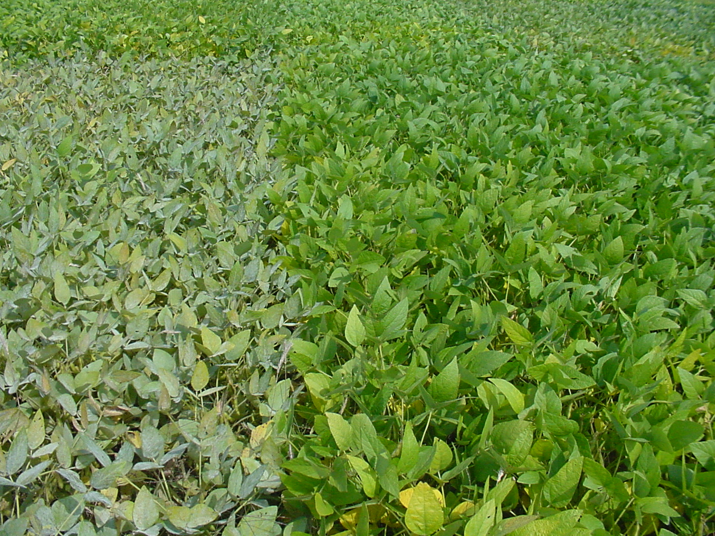 Variety susceptible to powdery mildew (left) compared to resistant variety (right).