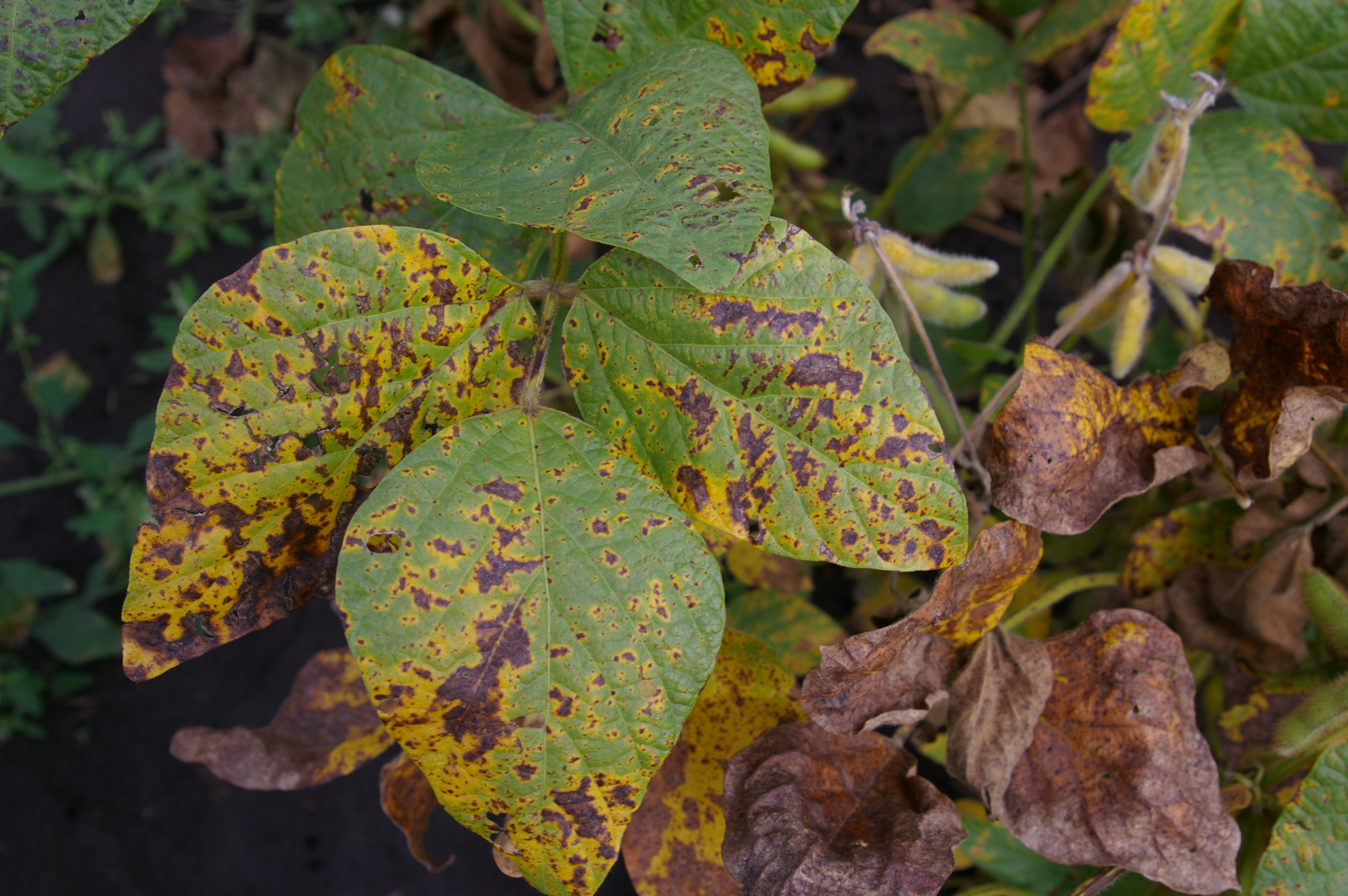 Septoria brown spot lesions can grow together and form large, irregular blotches on leaves.